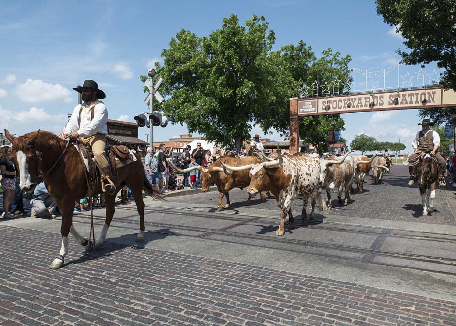 Cowboy leading bulls photo