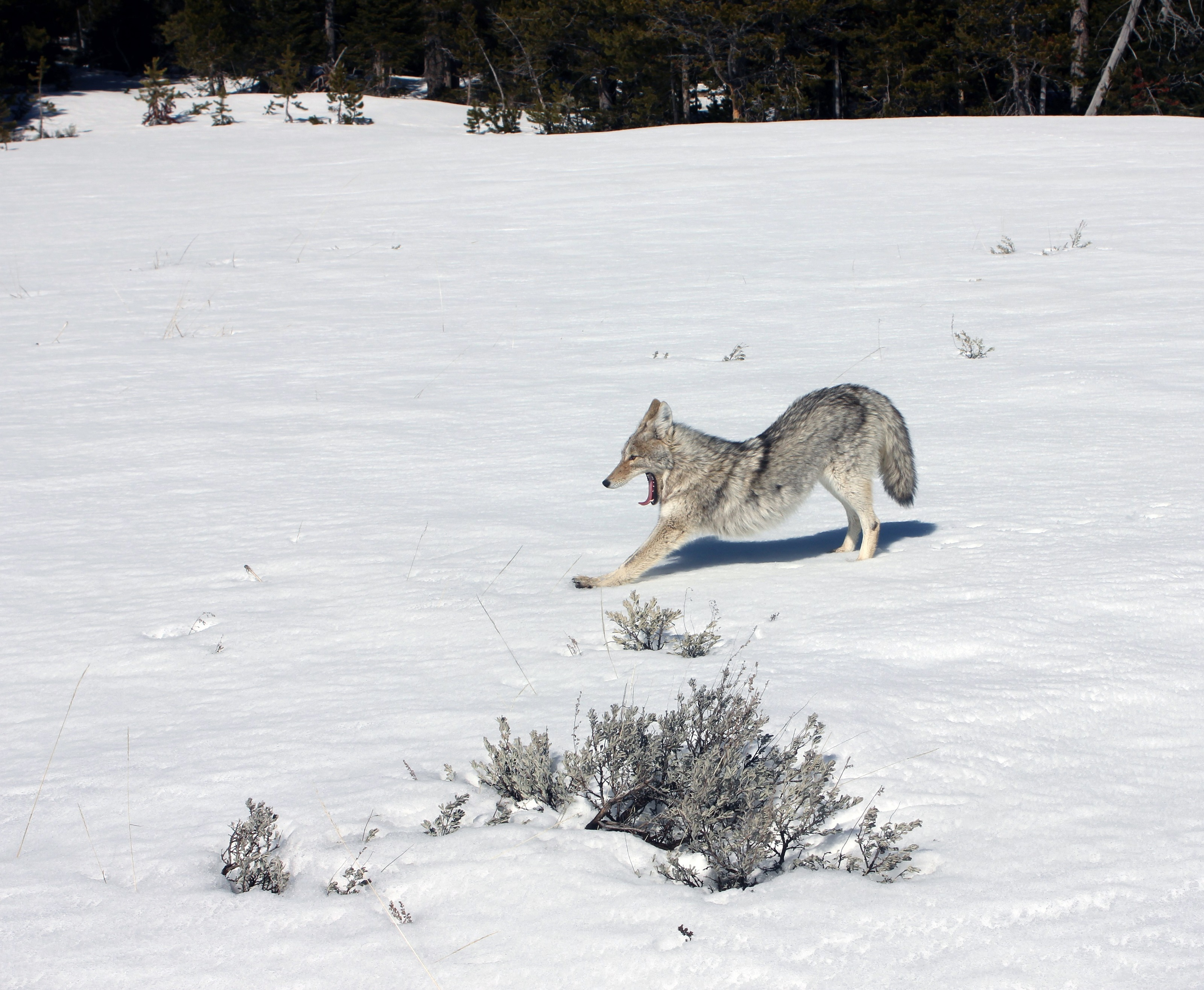 Coyote in winter photo