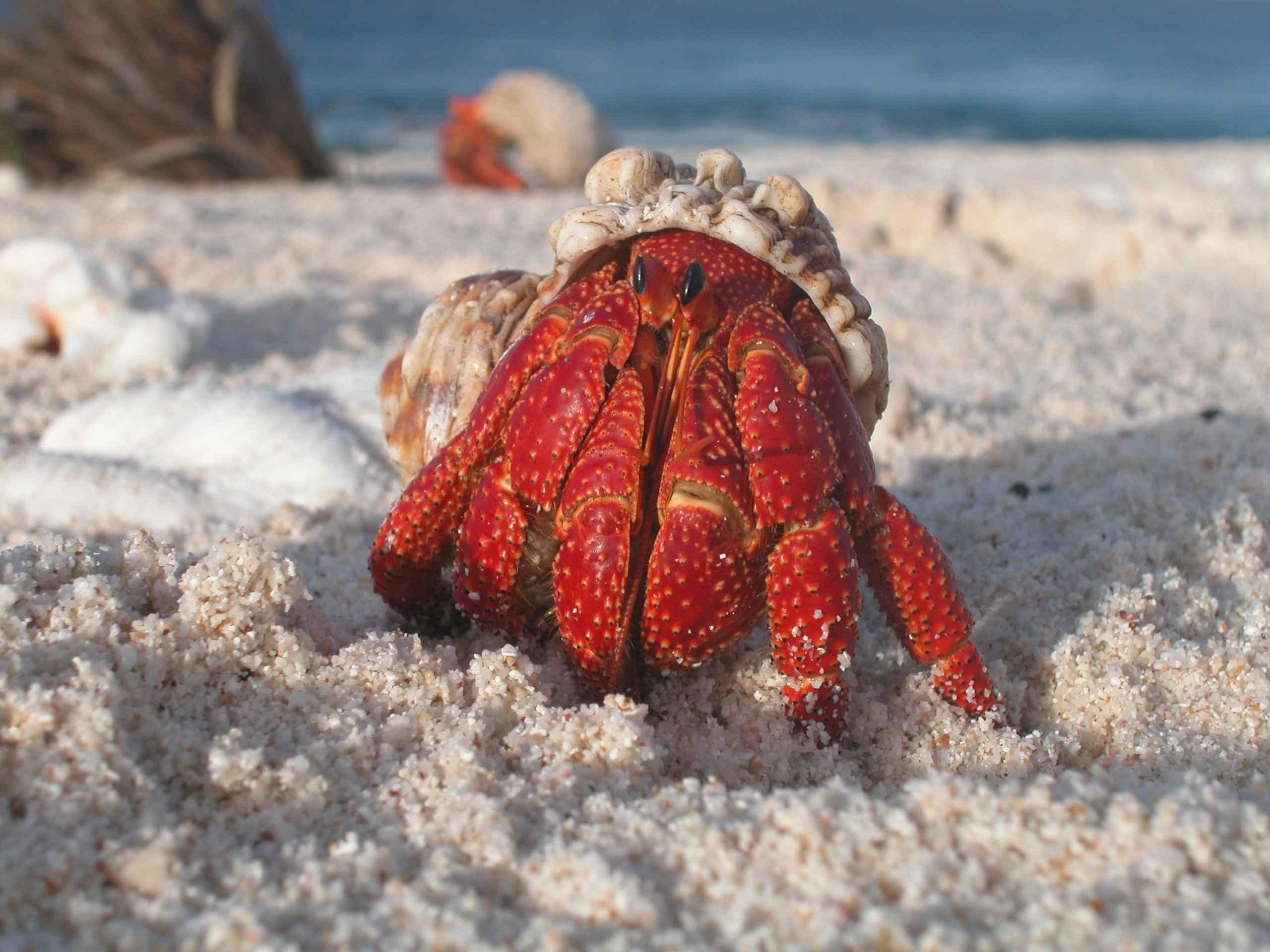 Crab on the Beach, Animal, Beach, Crab, Fish, HQ Photo