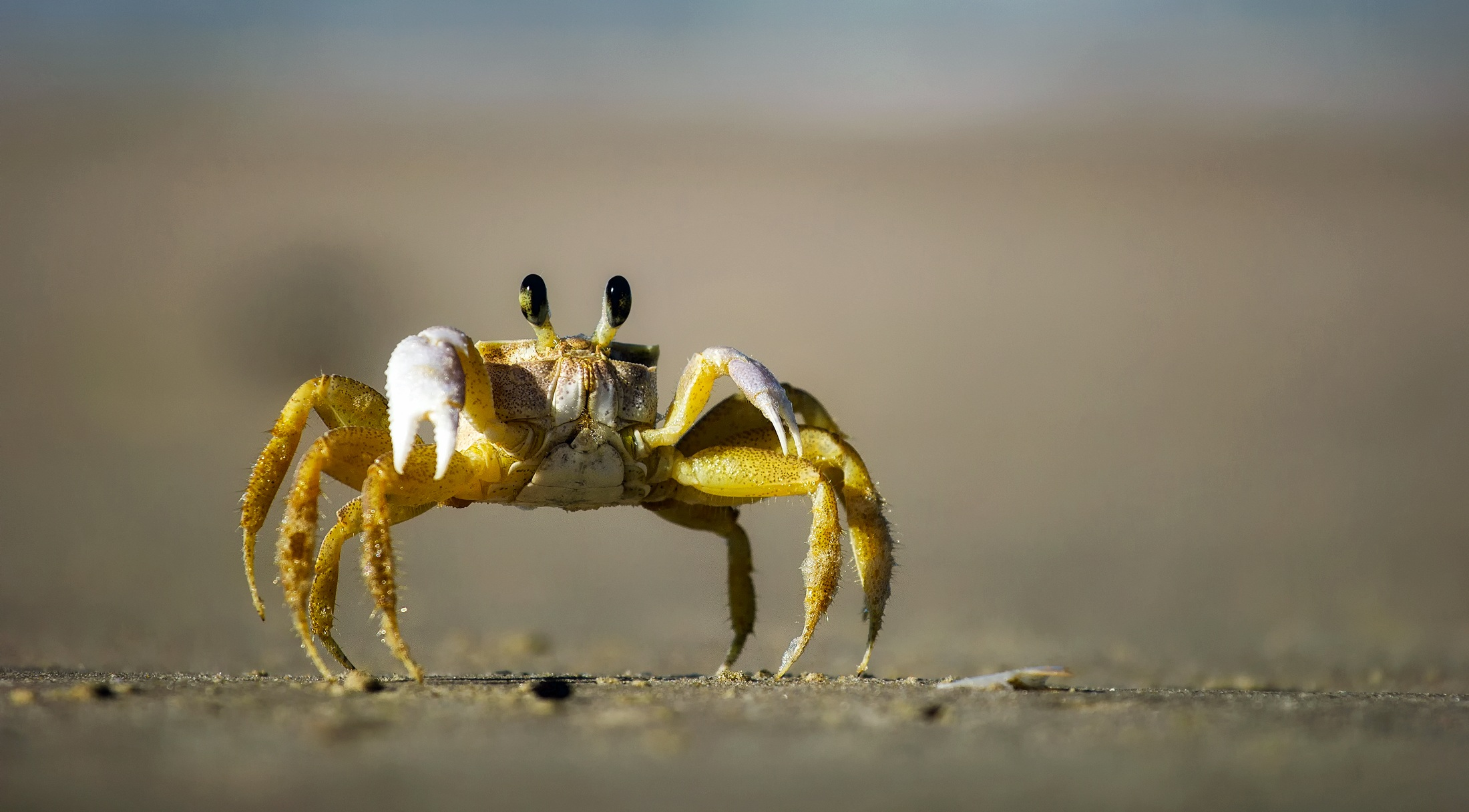 Crab ready to fight photo