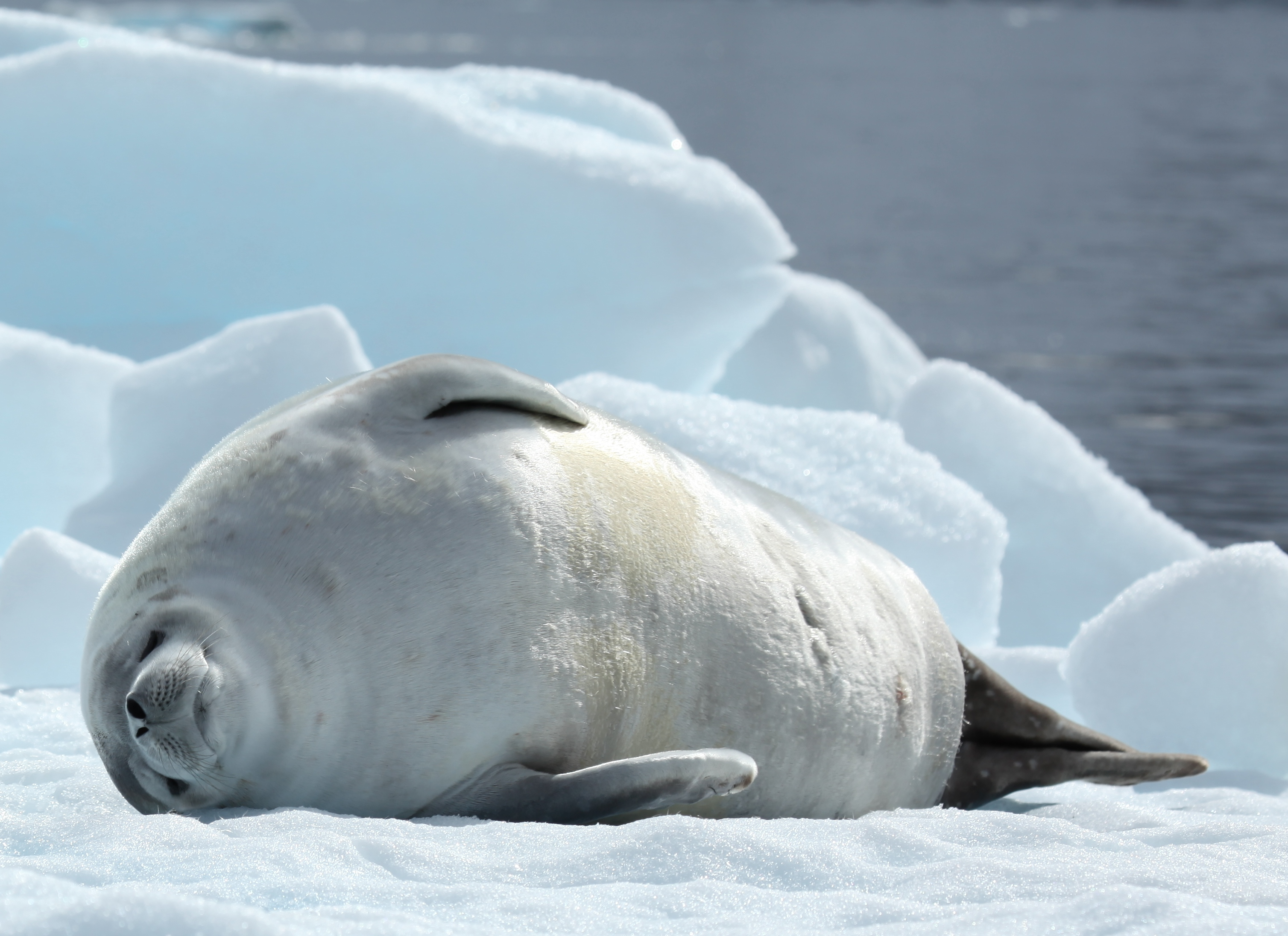 Crabeater seal - Wikipedia