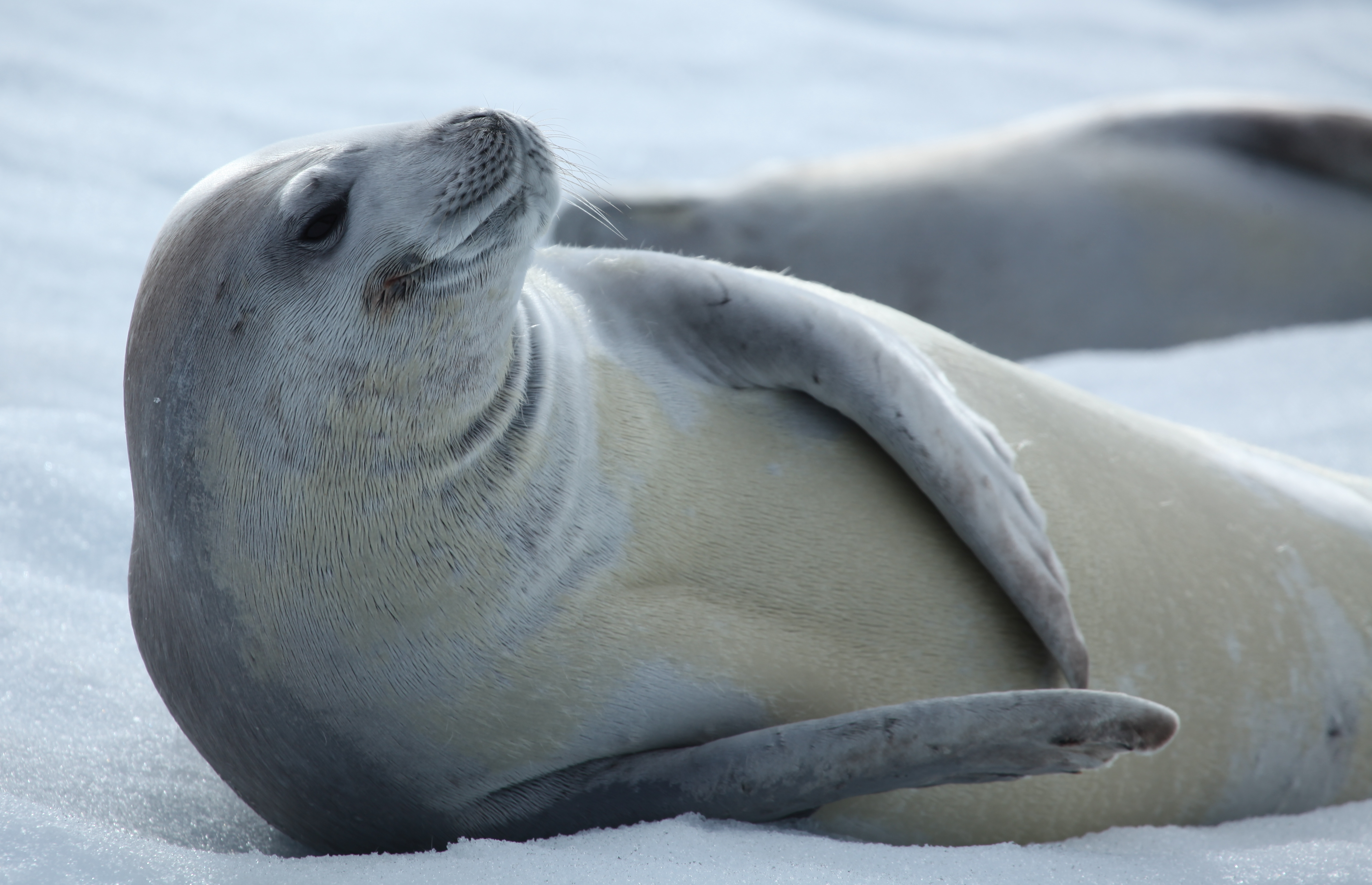 File:Crabeater Seal in Pléneau Bay, Antarctica.jpg - Wikimedia Commons