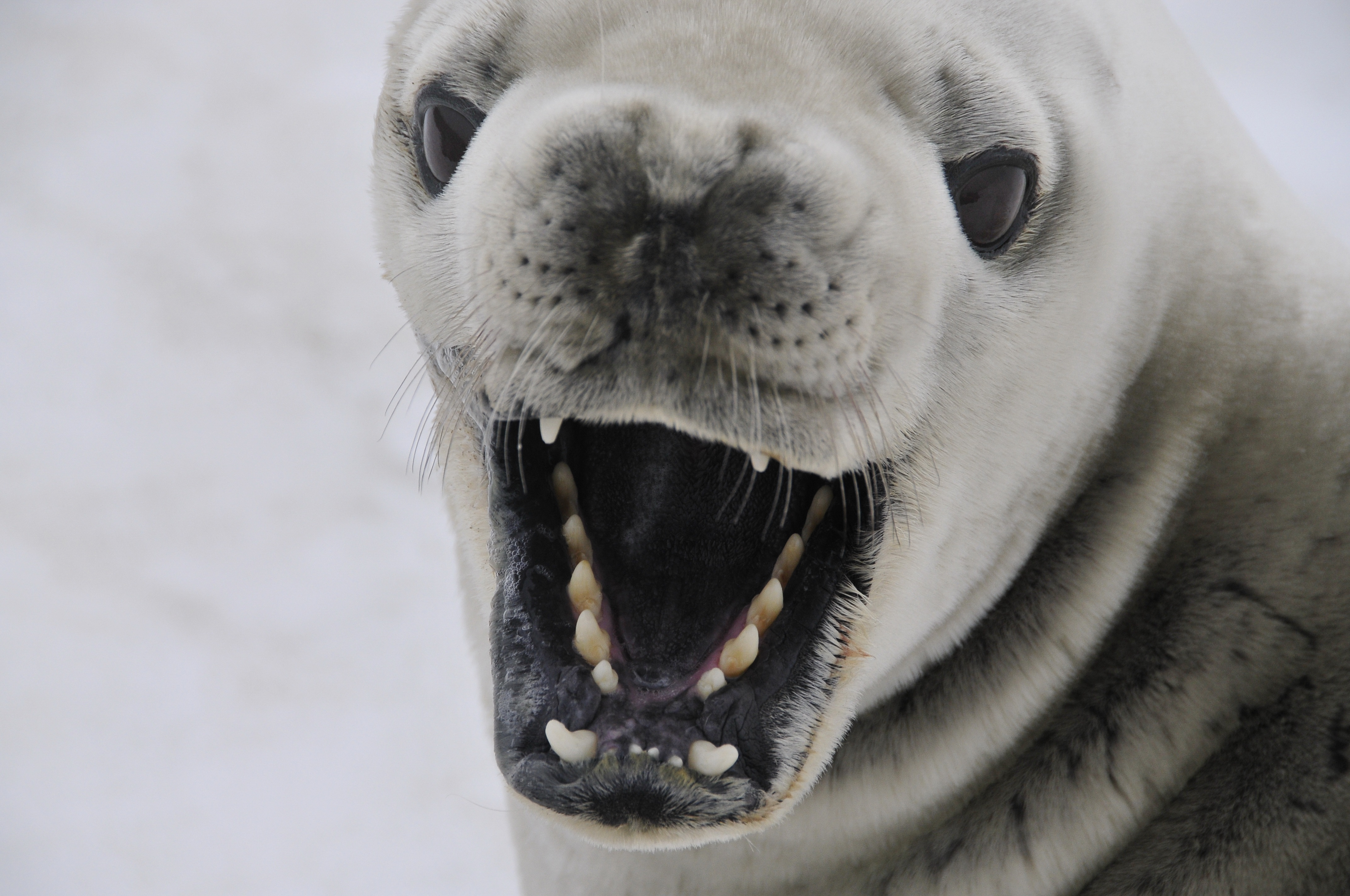 Crabeater Seal, Animal, Nature, Ocean, Seal, HQ Photo