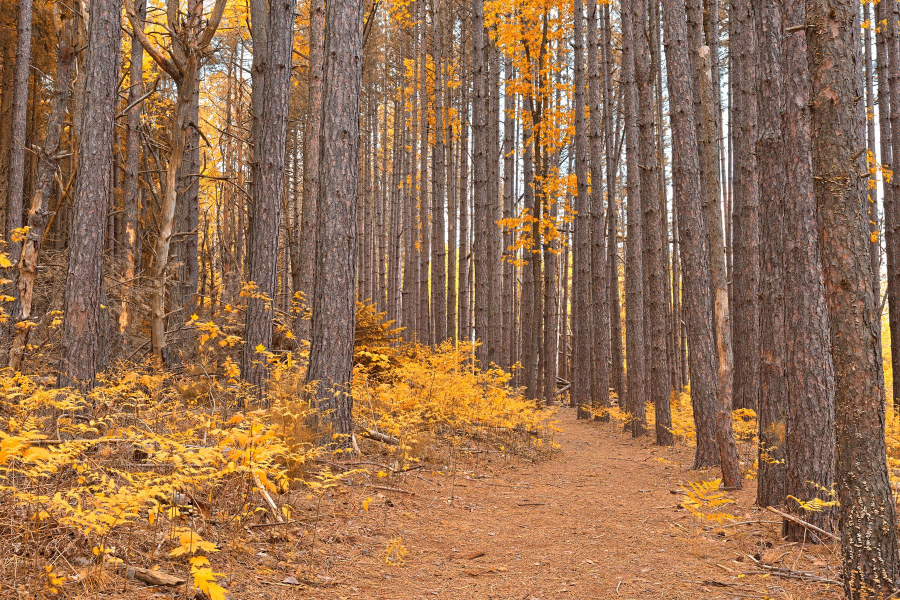 Cranesville swamp pine trail - gold fantasy hdr photo
