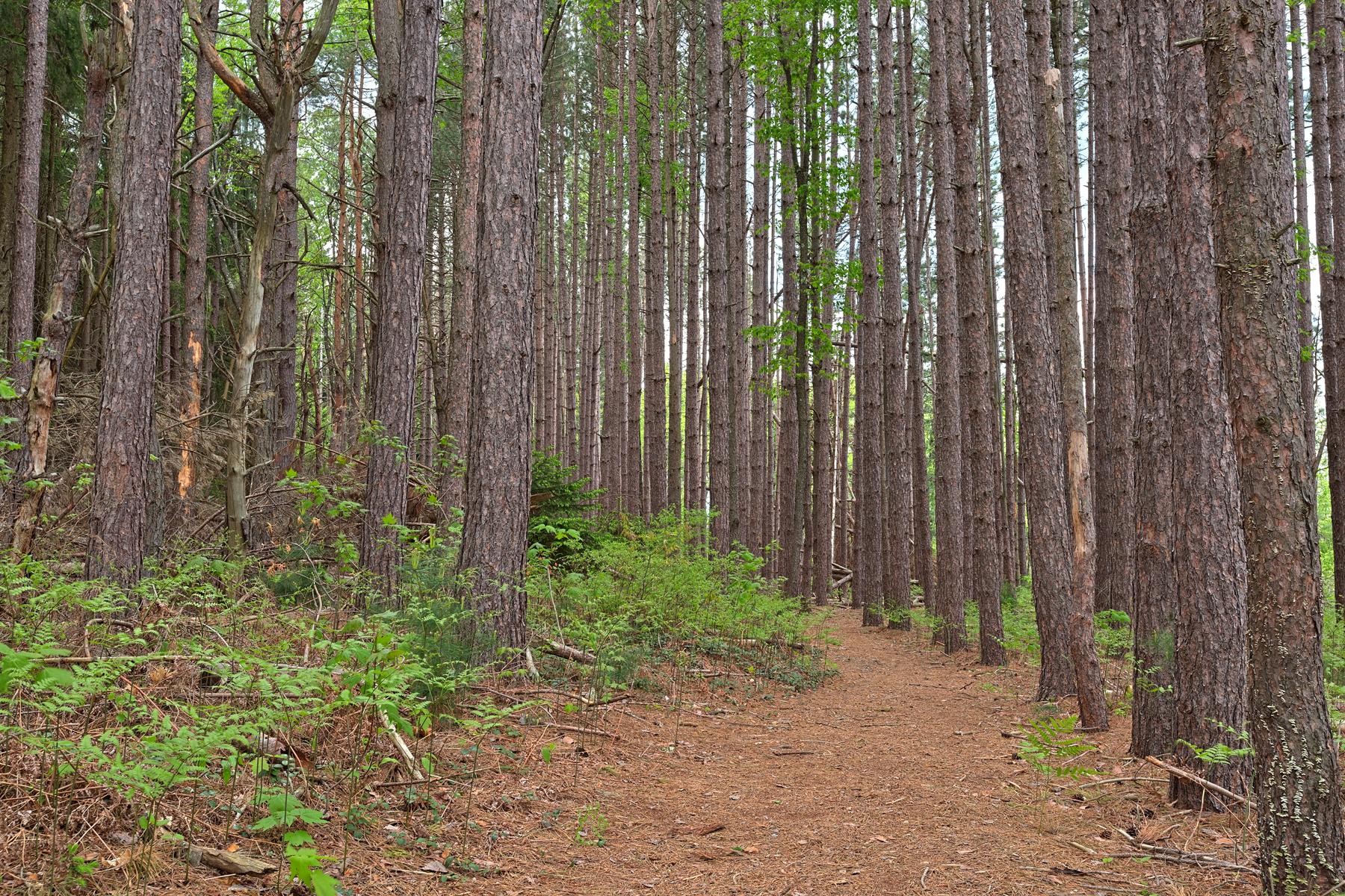 Cranesville swamp pine trail - hdr photo