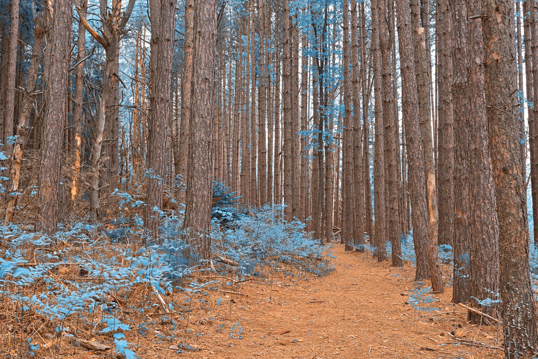Cranesville swamp pine trail - sapphire fantasy hdr photo