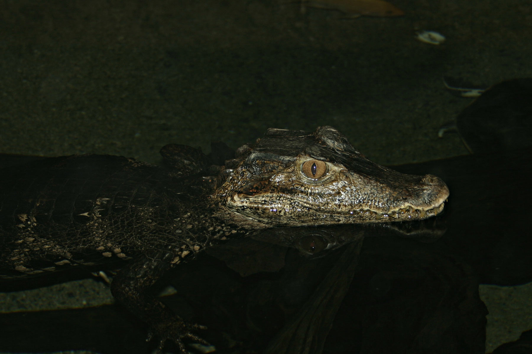 Crocodile, Swimming, Zoo, Reptile, Animal, HQ Photo