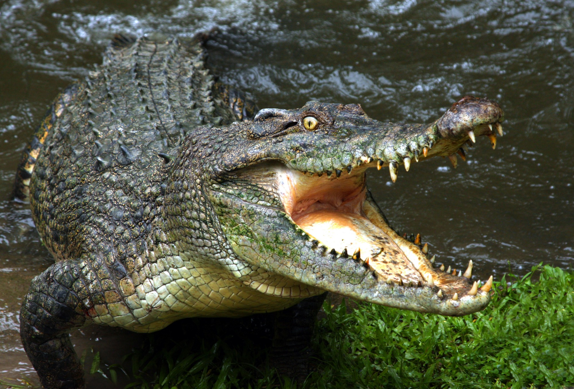 The enormous crocodile — owner of nature's most complex heart