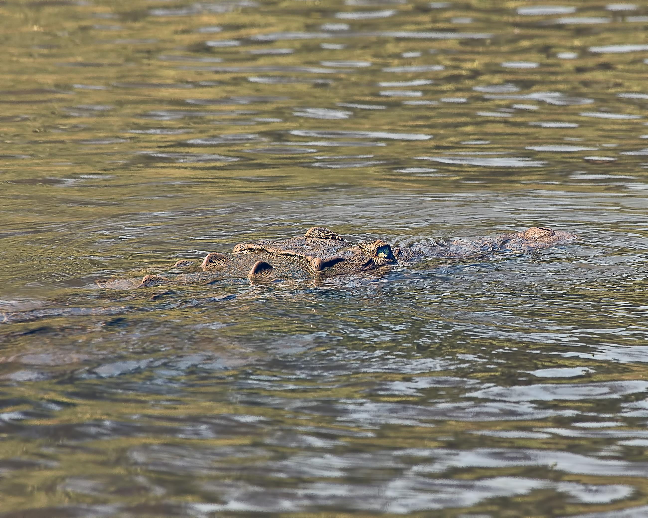 Crocodile, Adult, Salt, Nature, One, HQ Photo