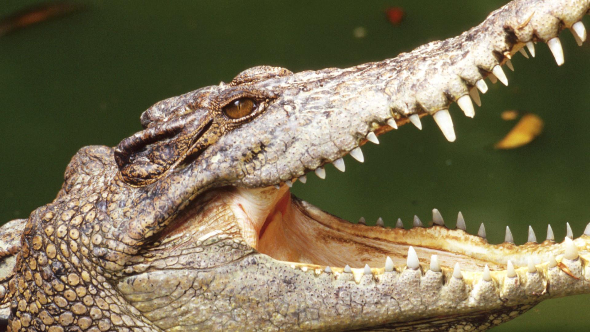 American crocodile run over, killed in the Florida Keys - Sun Sentinel
