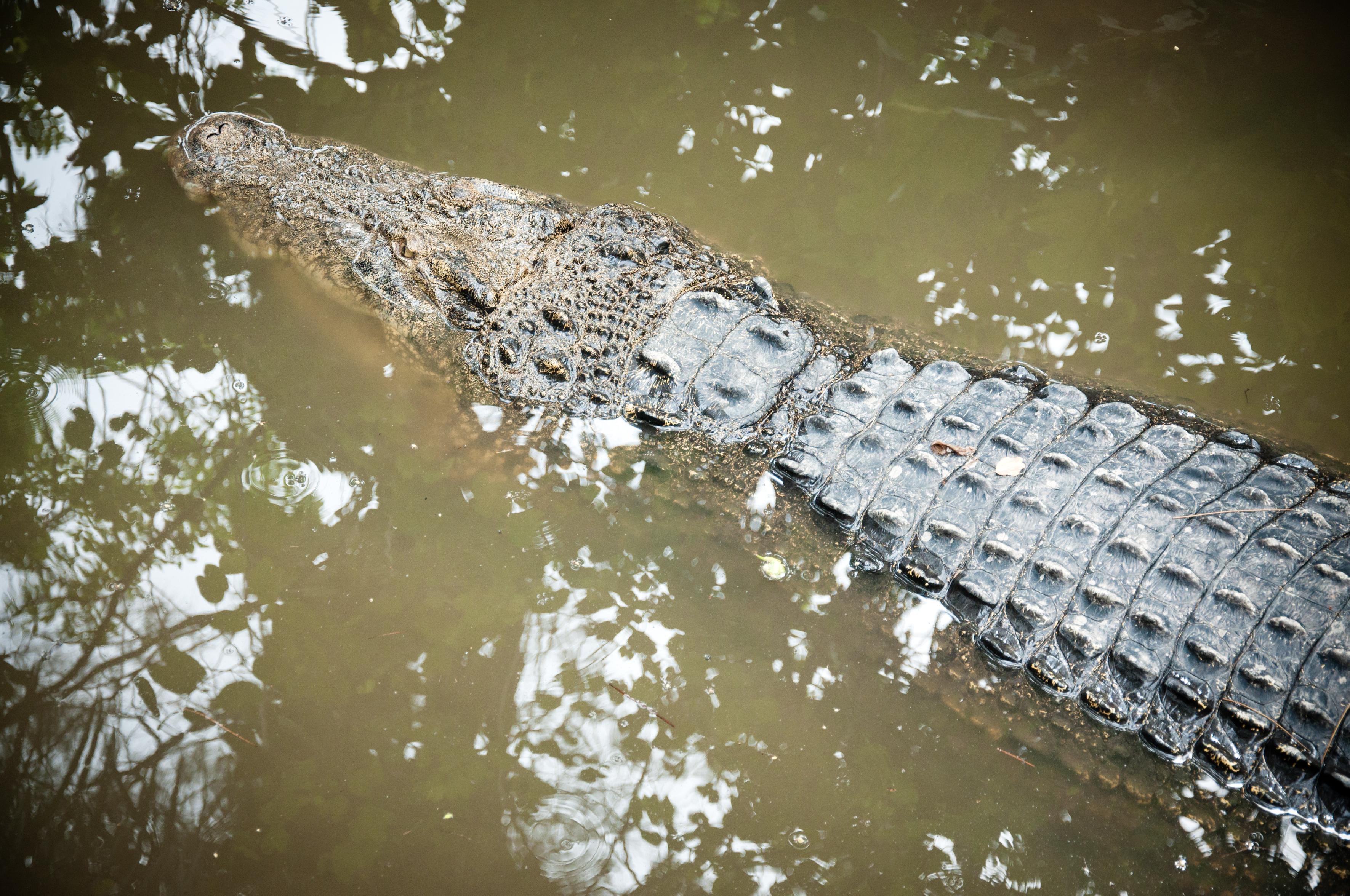 Crocodile, Aggression, Scales, Portrait, Power, HQ Photo