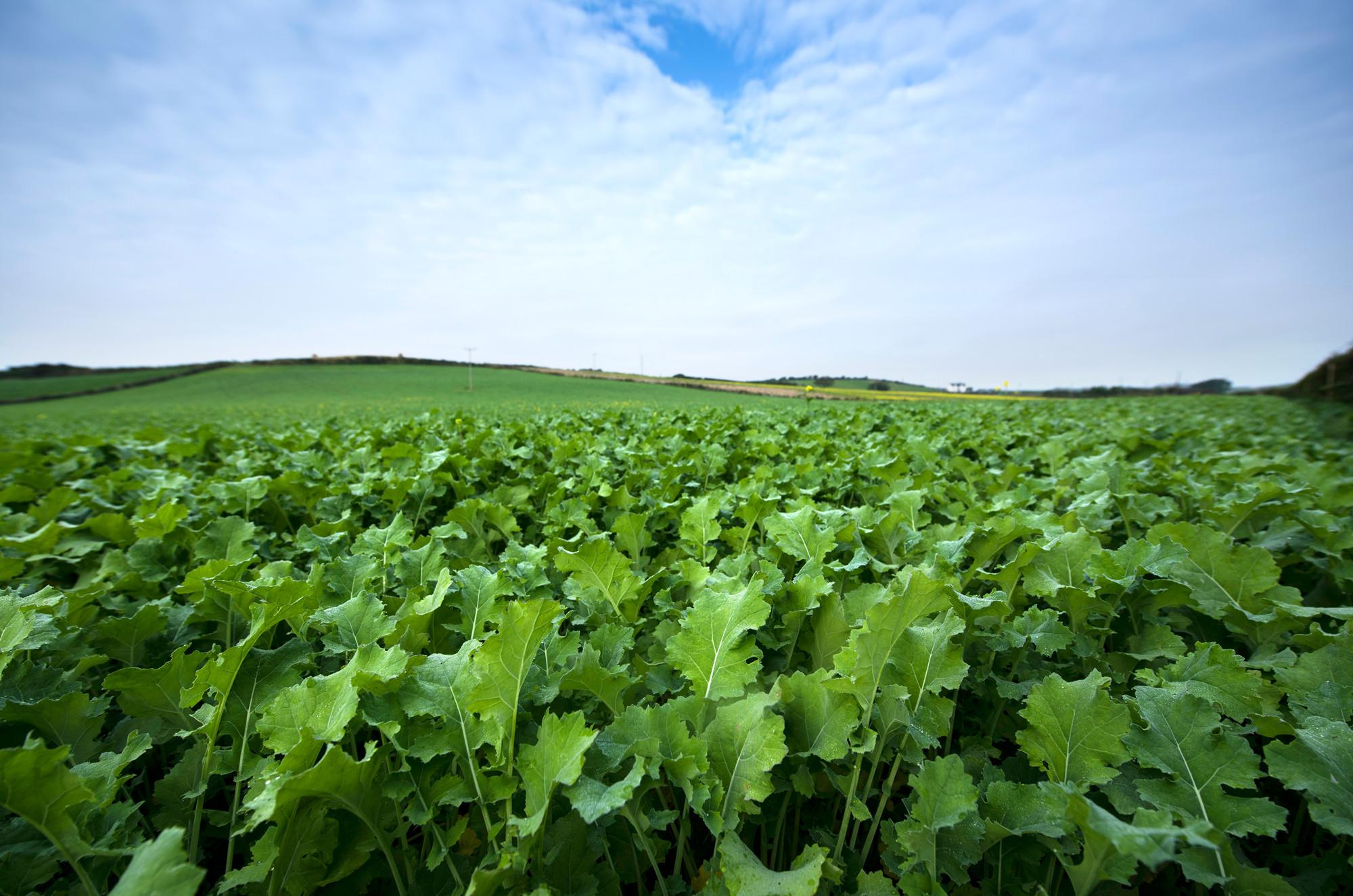 Brassicas/Forage Crops