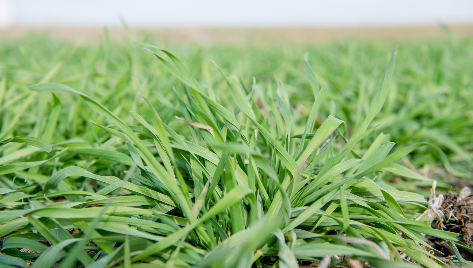 Cover crops: Be a little crazy | Iowa Soybean Association