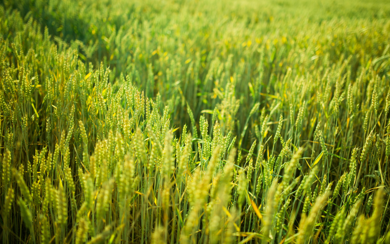 Crops, Field, Green, Greenery, Nature, HQ Photo