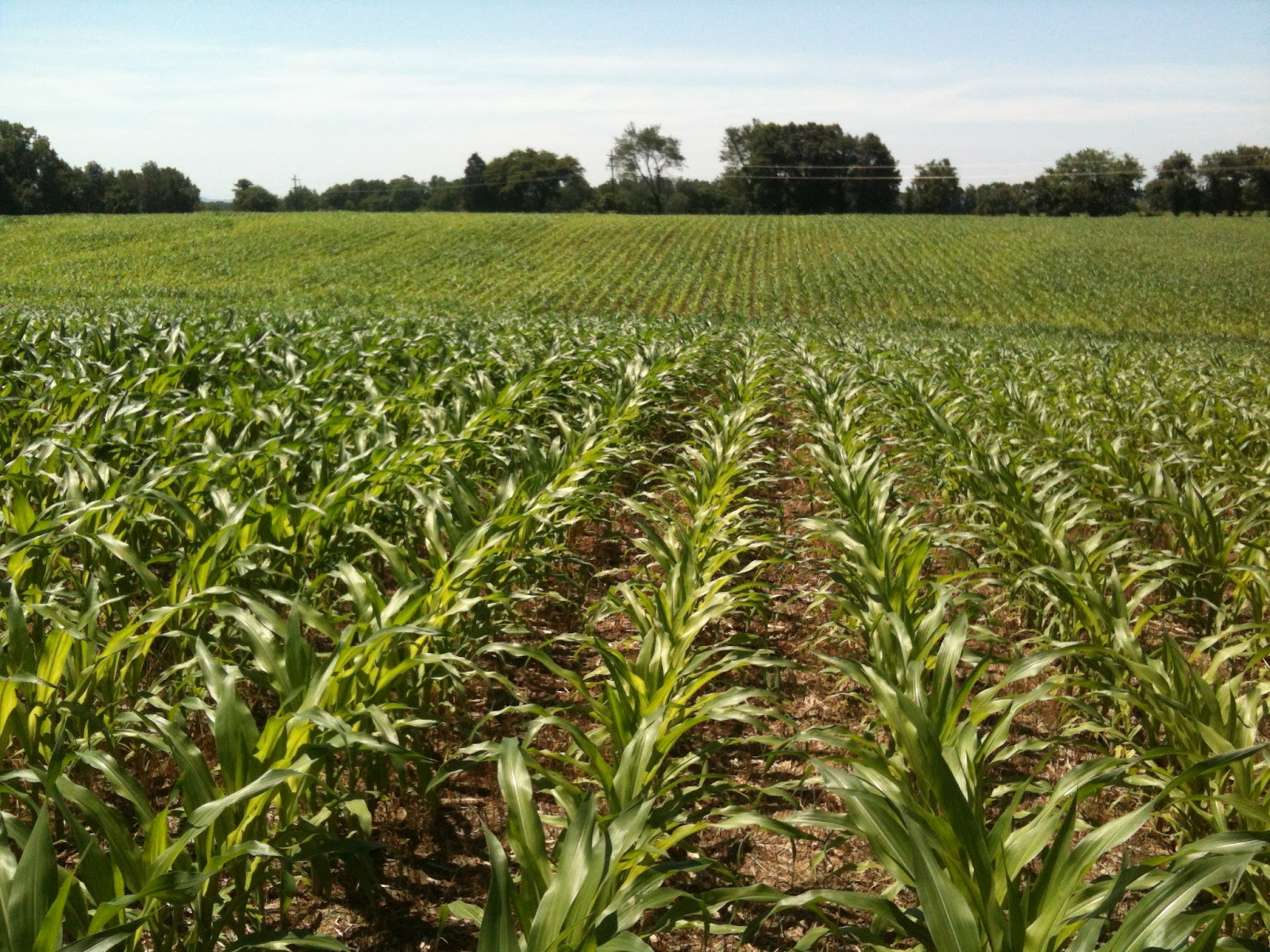Grain Crops Update: More Corn and Soybean Challenges in Fields