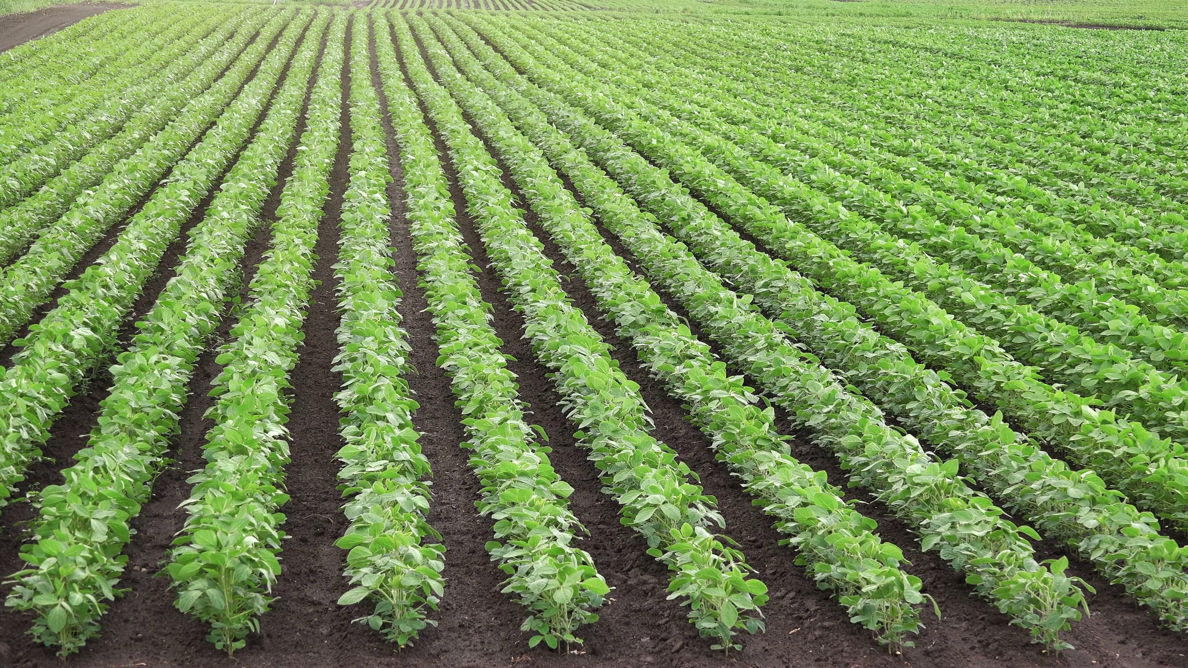 Cultivated soybean field, crops growing in rows Stock Video Footage ...