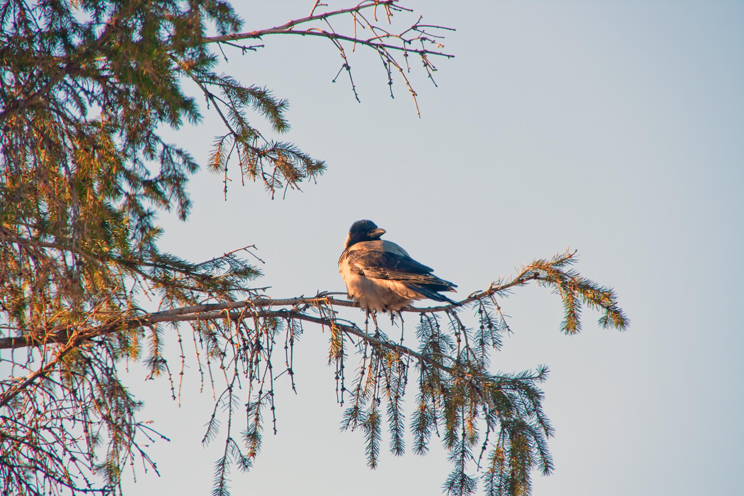 Crow photo