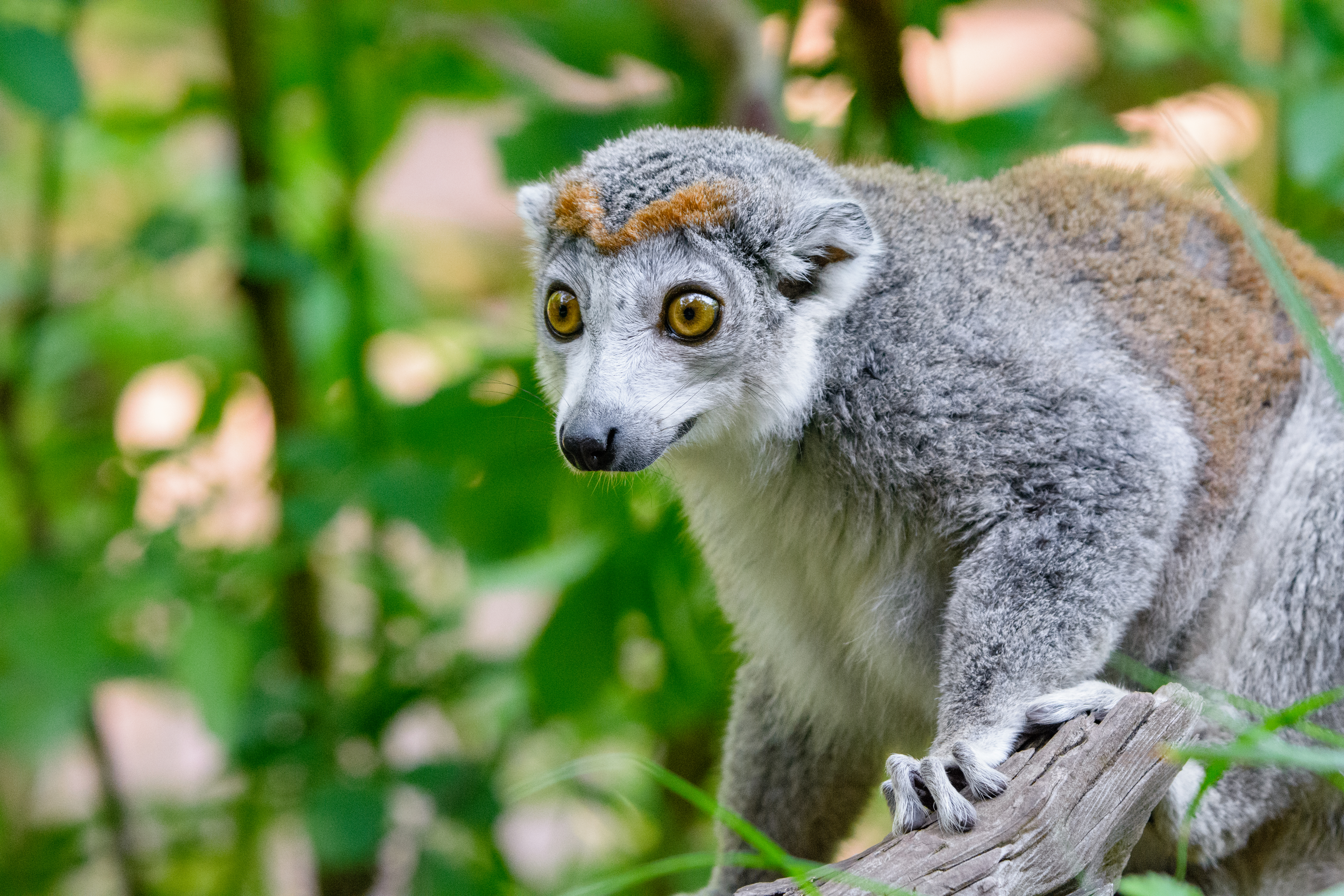 Crowned lemur (female) photo