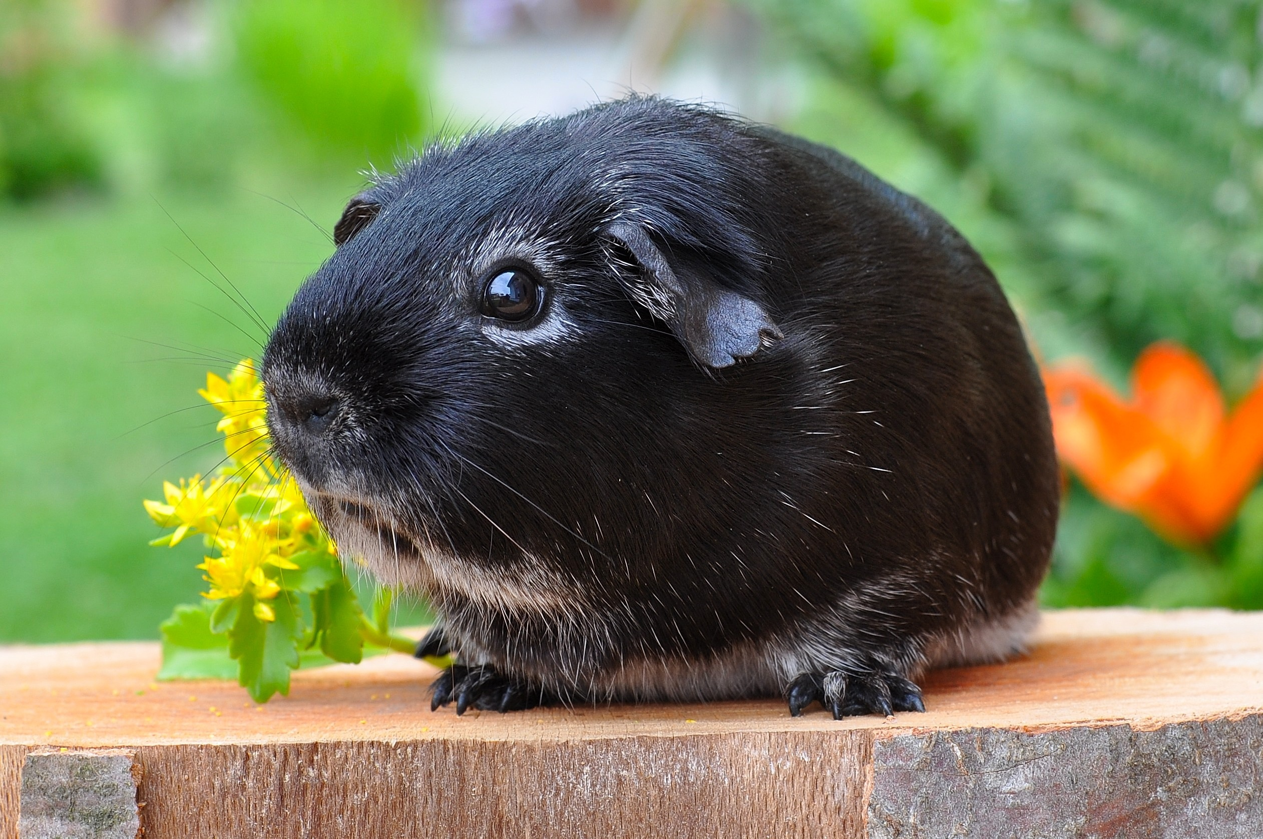 Cute, Guineapig, Loyal, Guinea, Pet, HQ Photo