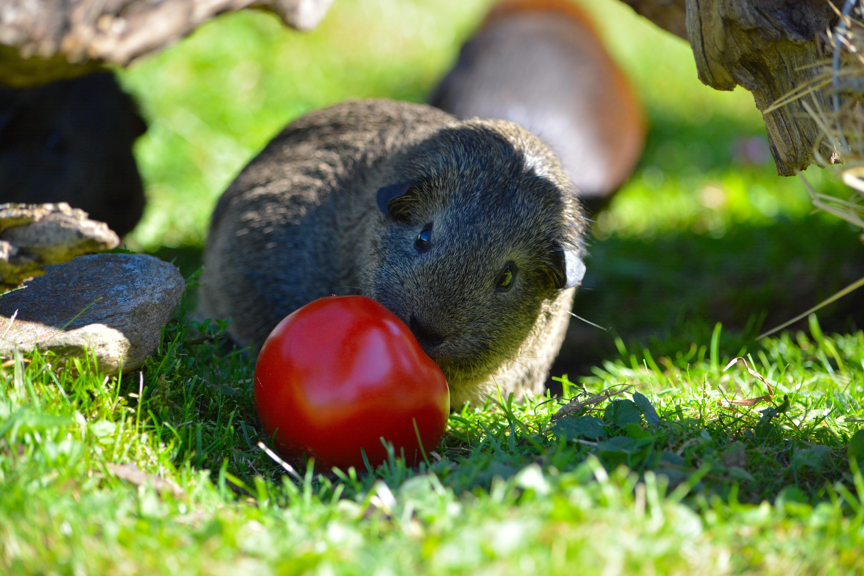 Cute, Adorable, Animal, Friend, Guinea, HQ Photo