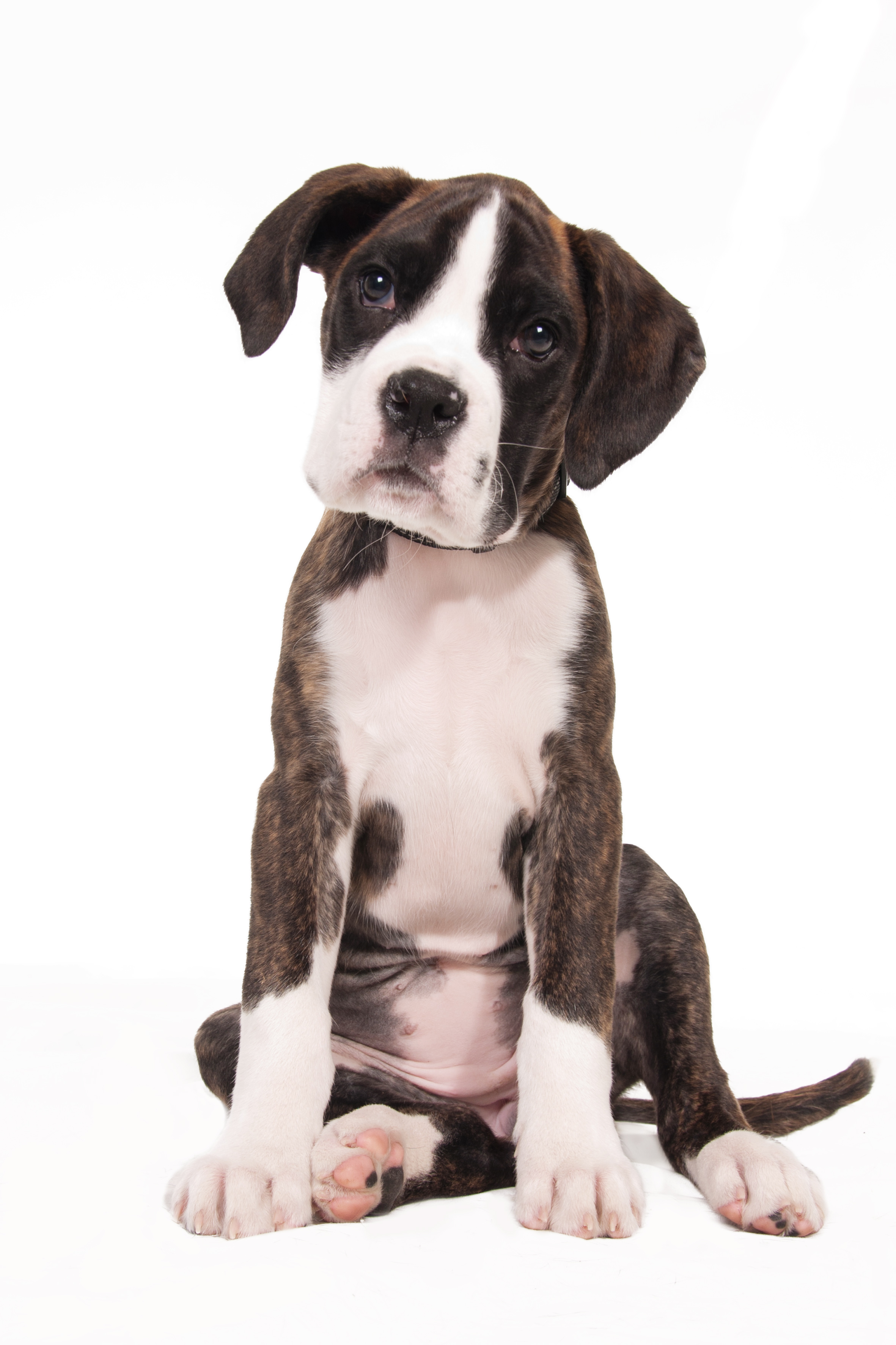 free photo: cute boxer puppy - puppies, photography, pup - free