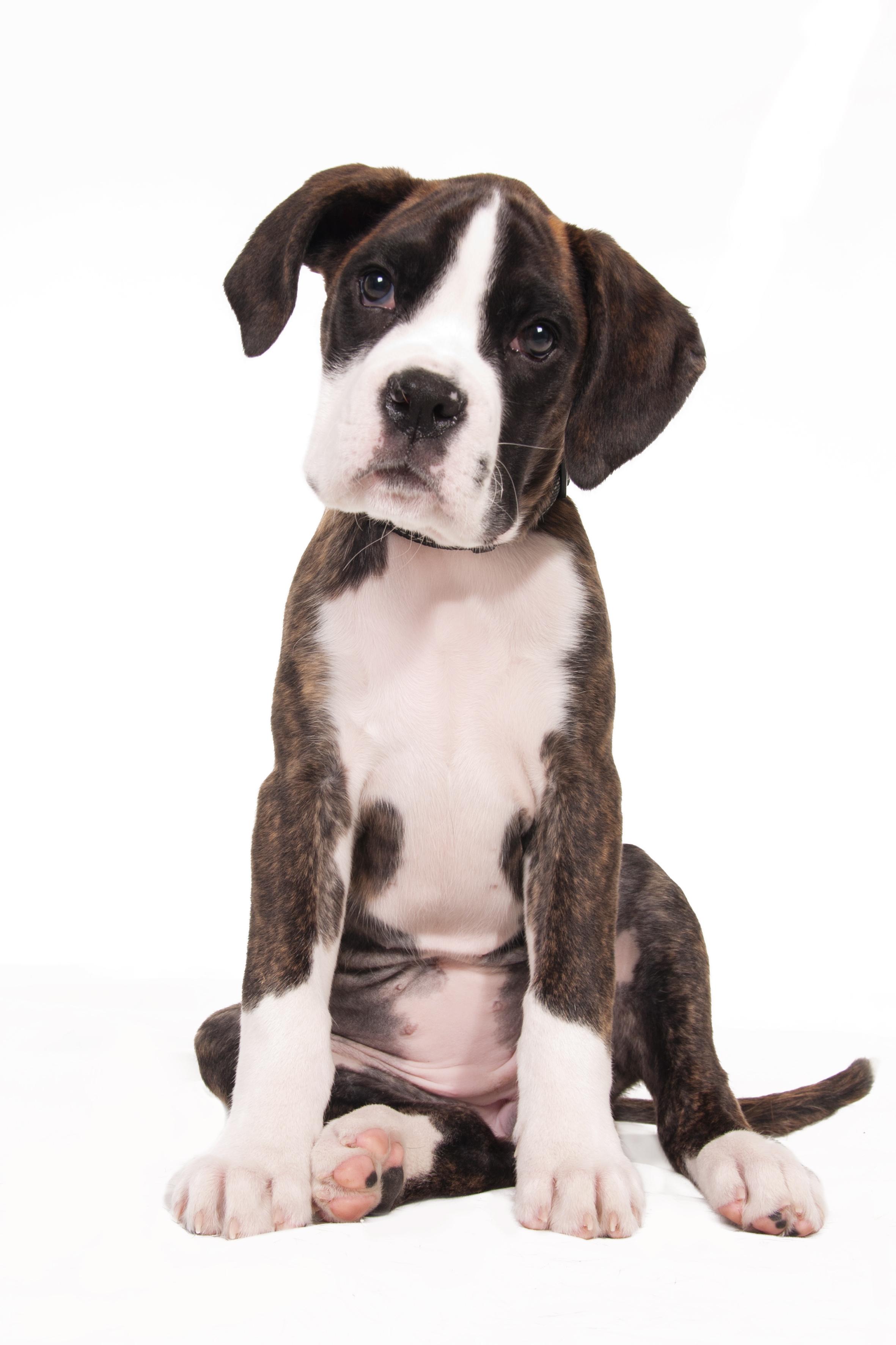 Cute boxer puppy photo