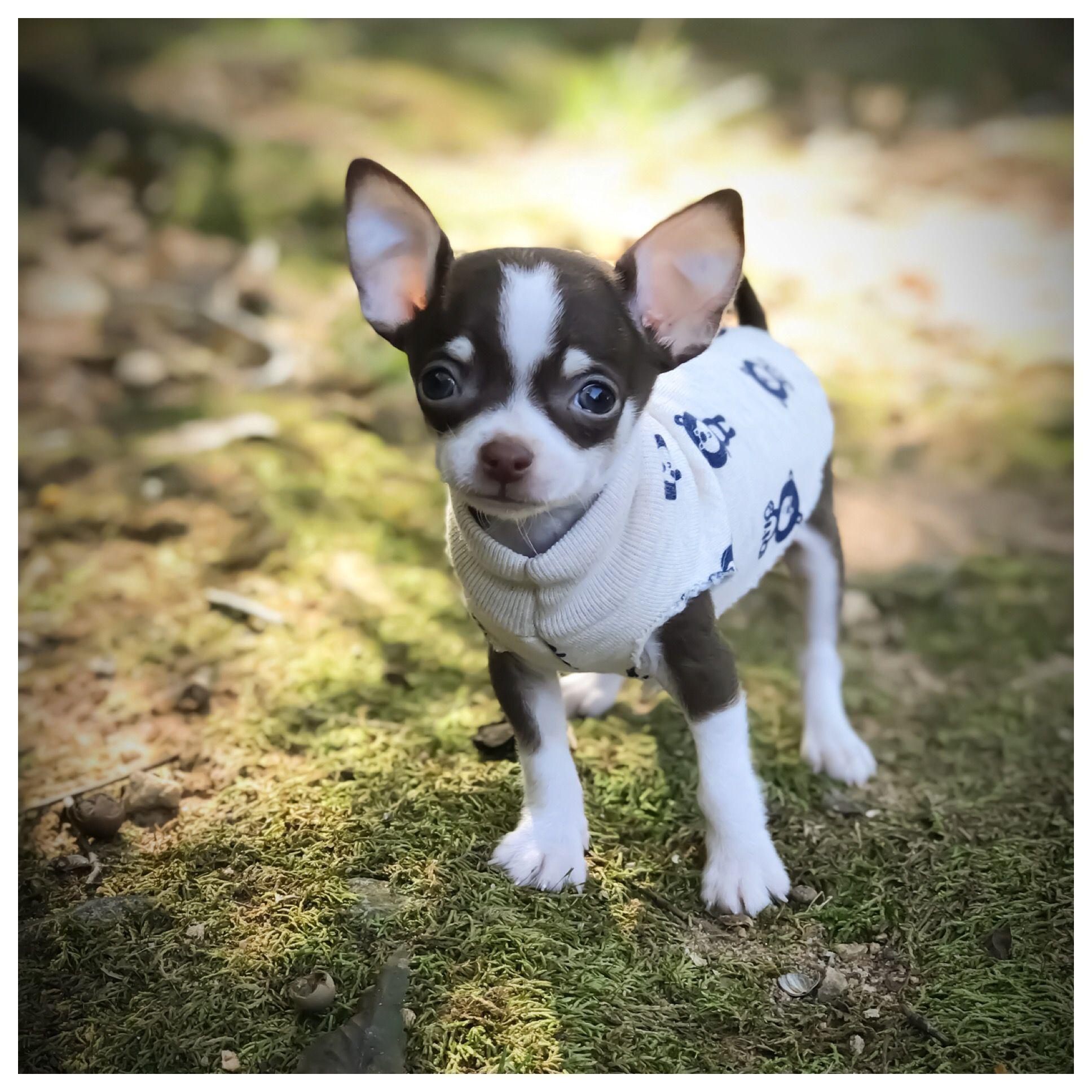 Cute chihuahua staying warm in a sweater #Chihuahua | Chihuahua ...