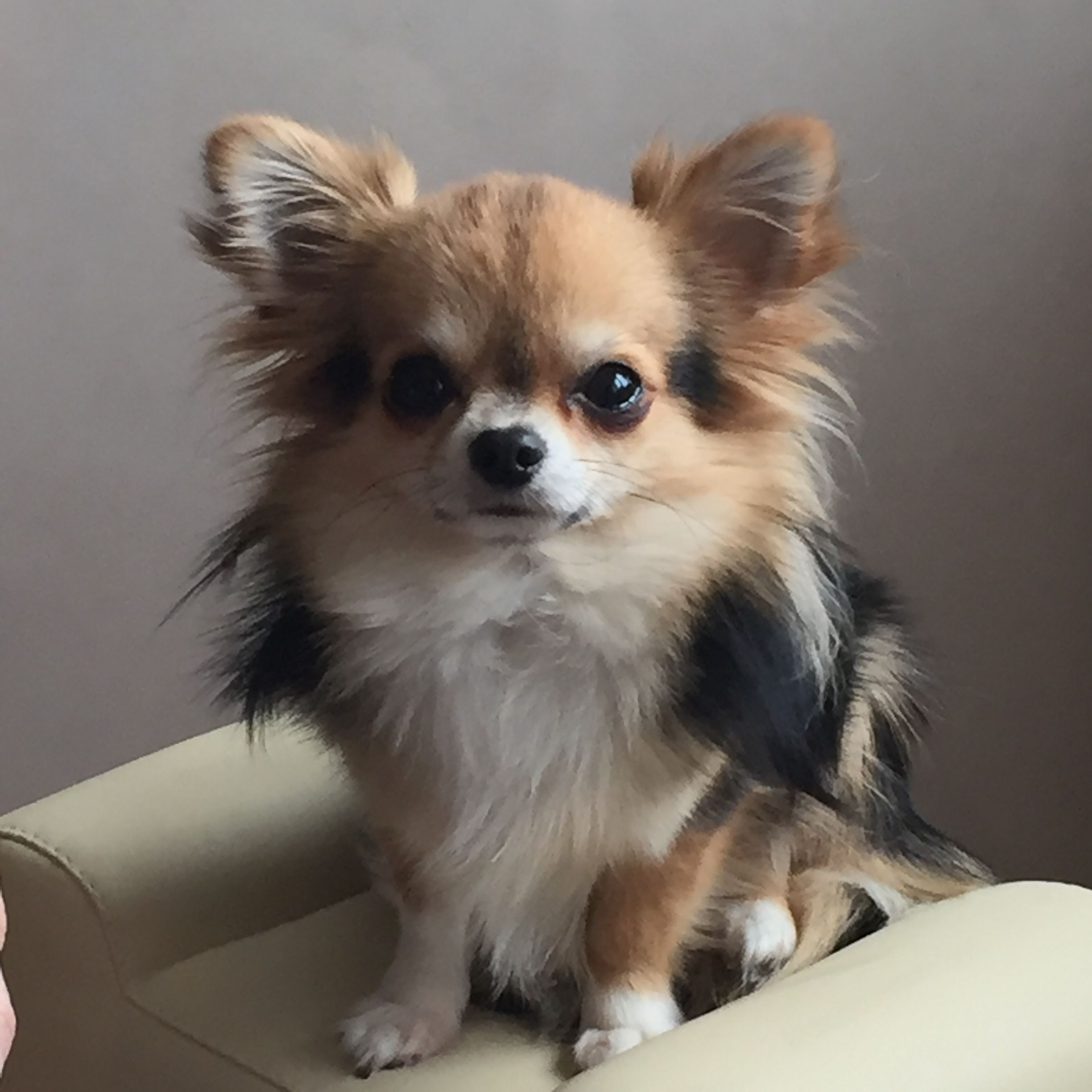 Cute Chihuahua | Chihuahua | Pinterest | Dog, Animal and Long haired ...