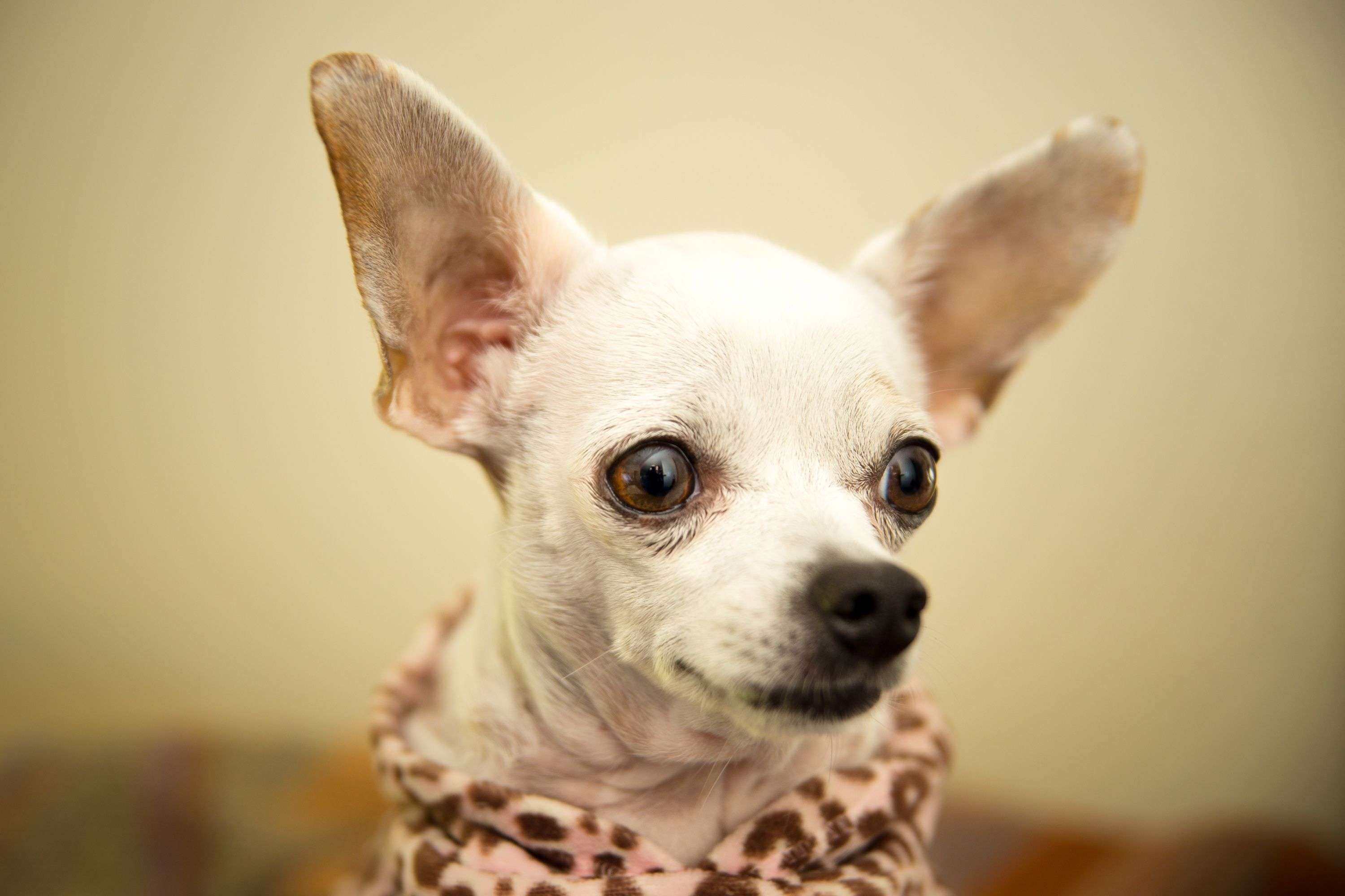 Lola the cute chihuahua | cutest things in the world | Pinterest