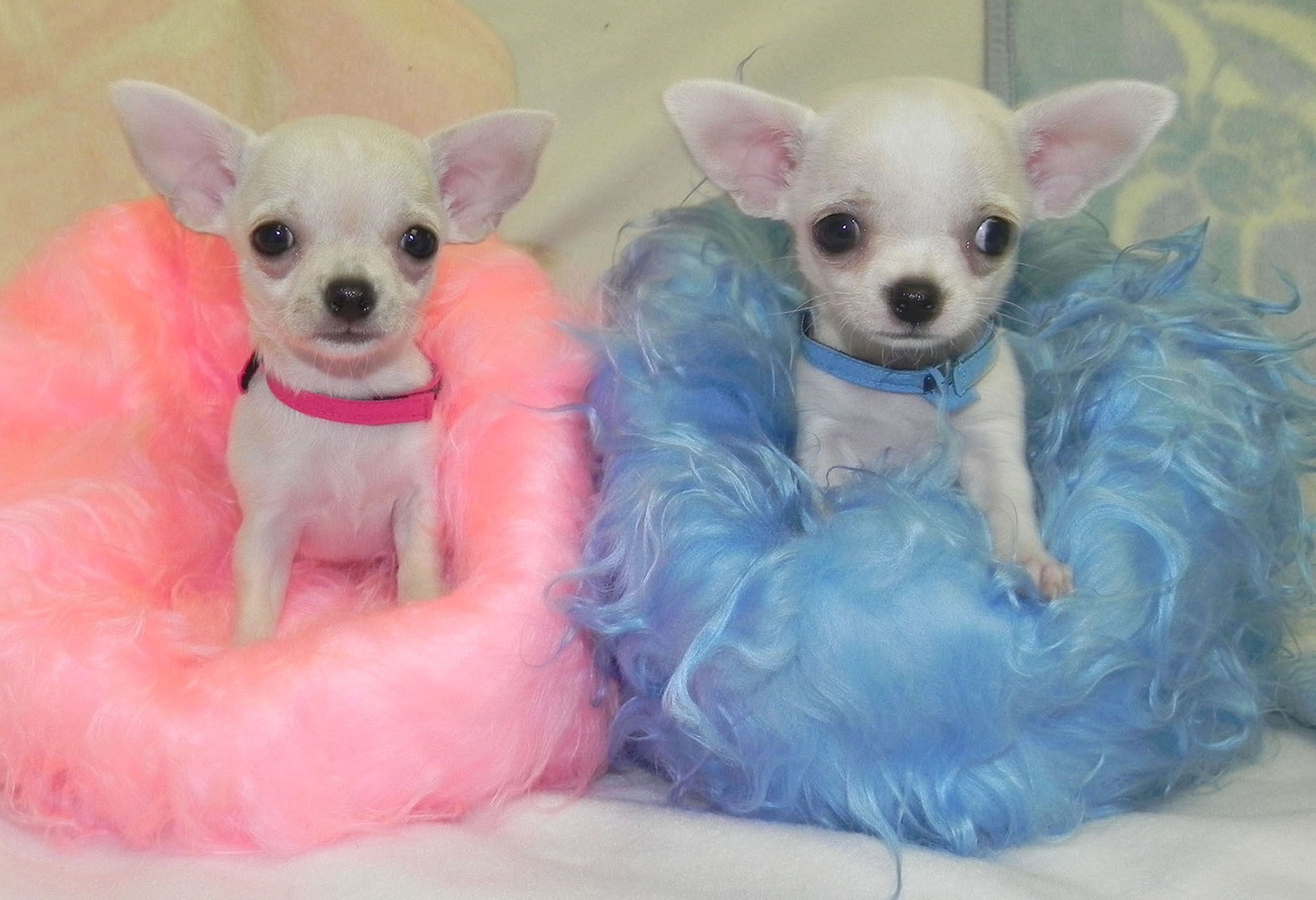 Photos of cute Chihuahuas! Brother and sister team... Yupyupper ...