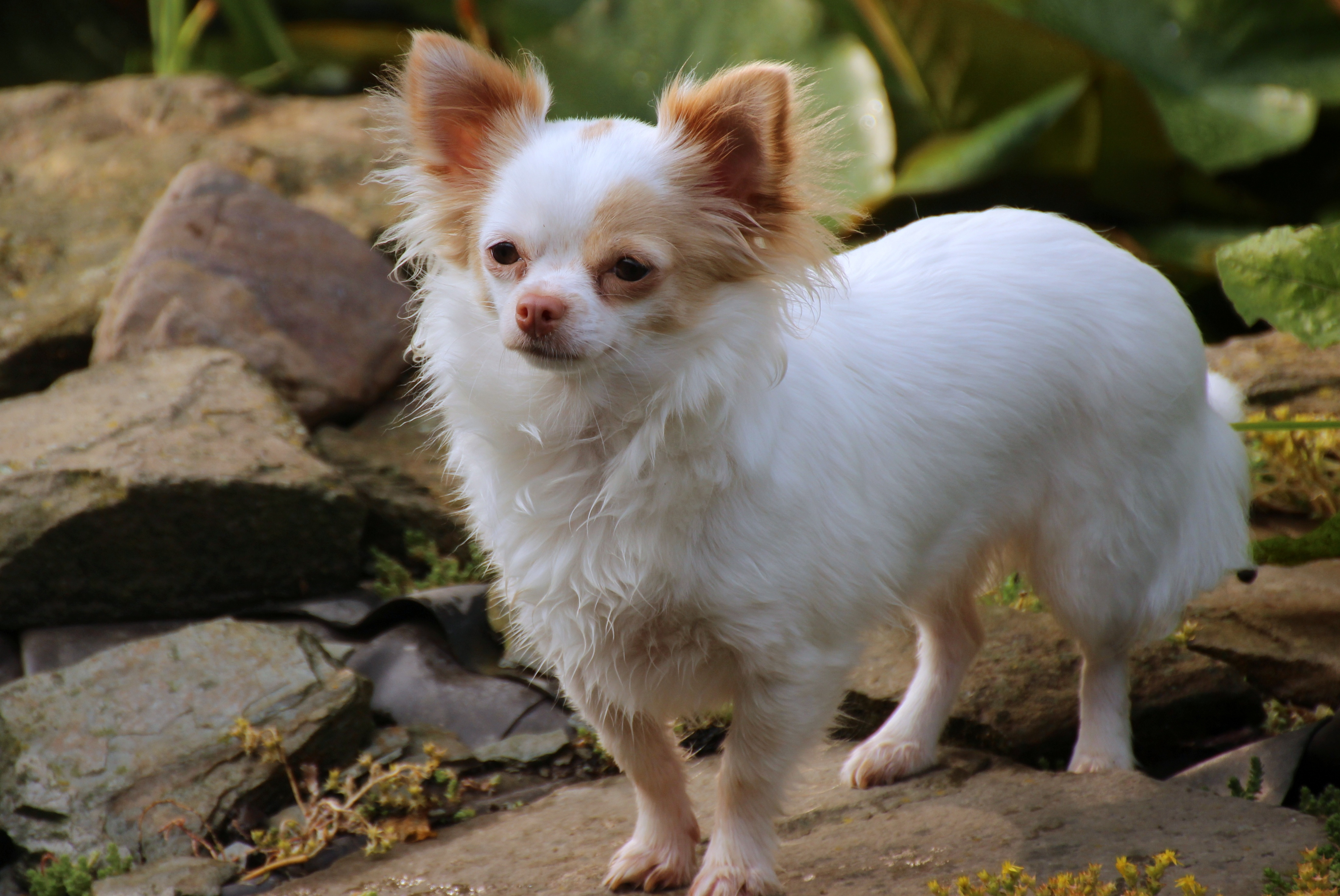 Cute Chihuahua, Animal, Chihuahua, Closeup, Dog, HQ Photo