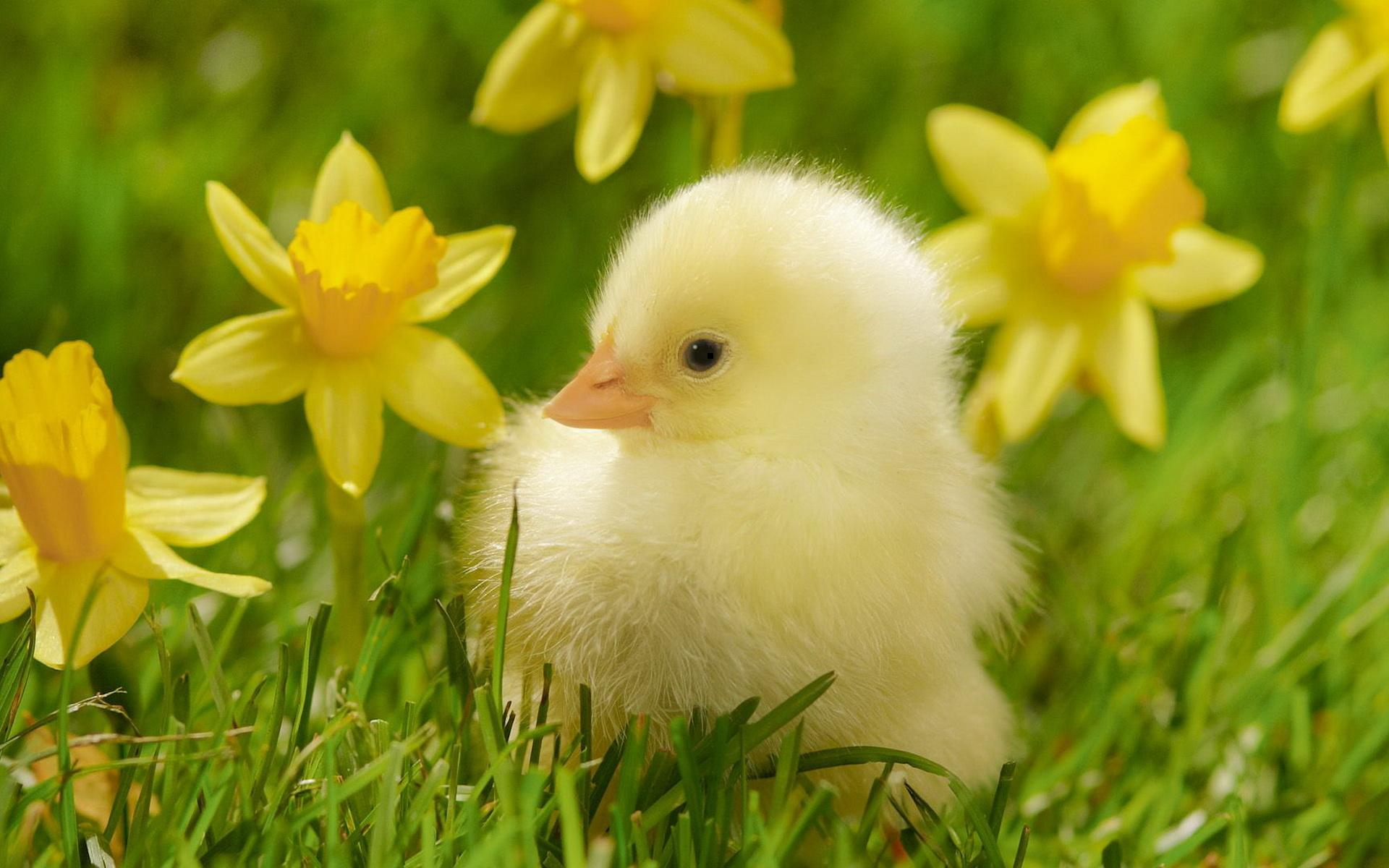 free photo: cute duckling - nature, wild, duckling - free download