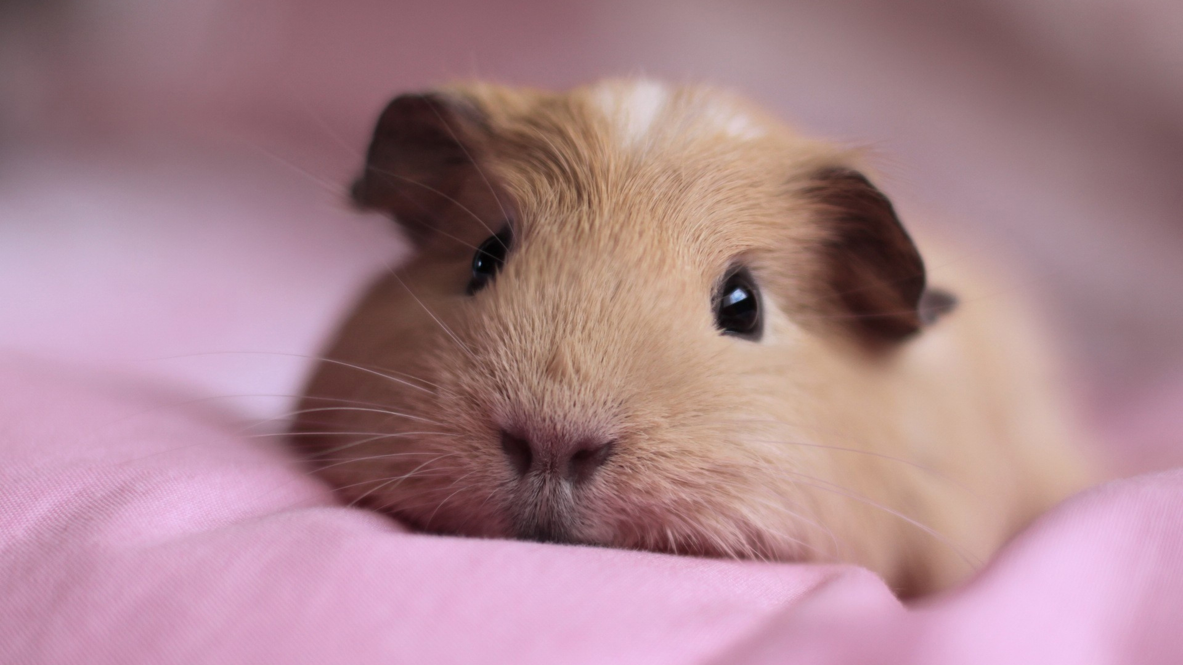 Cute Guinea Pigs In Costumes HD Wallpaper, Background Images