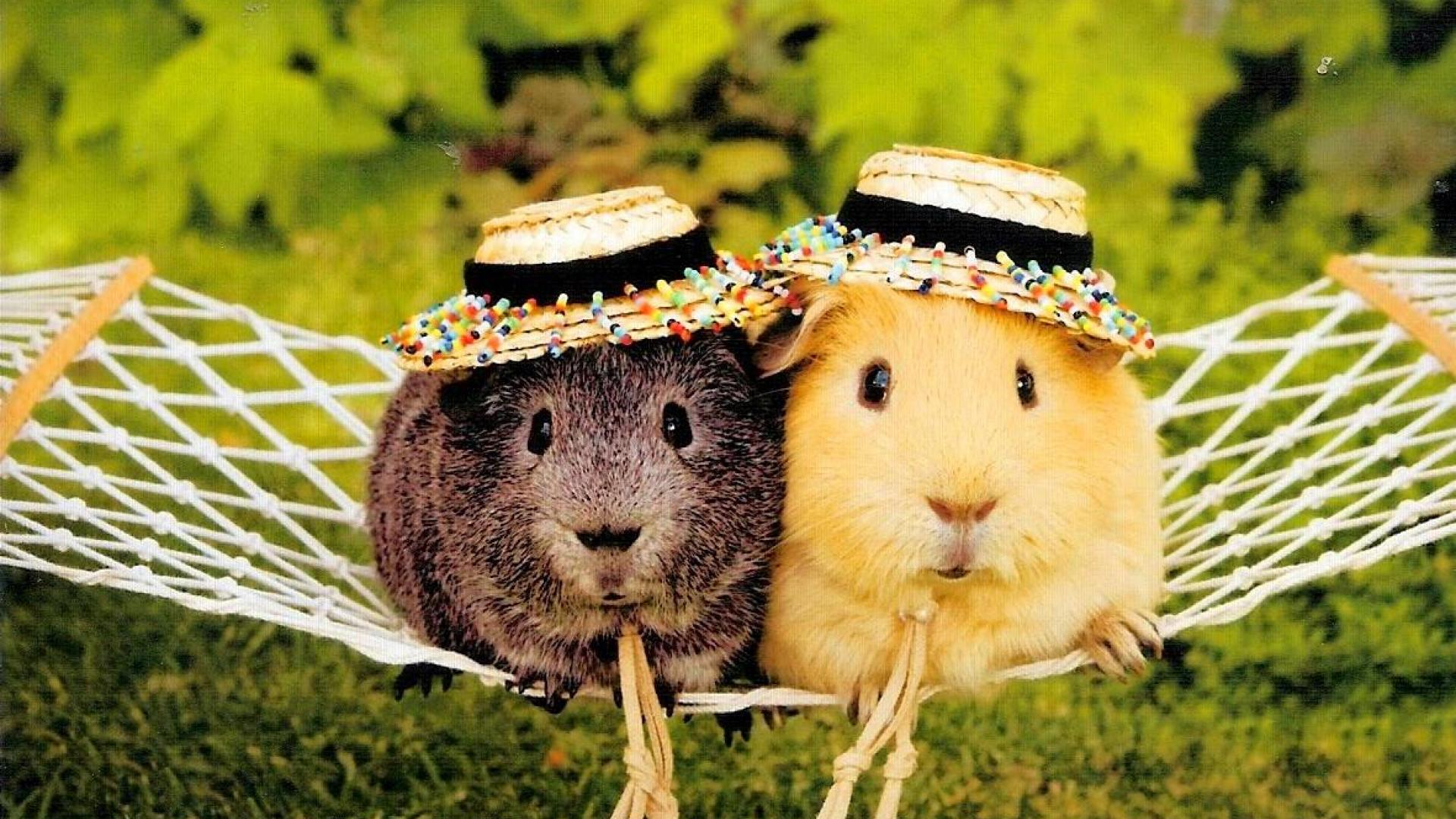 Cute Guinea Pigs HD Wallpaper, Background Images