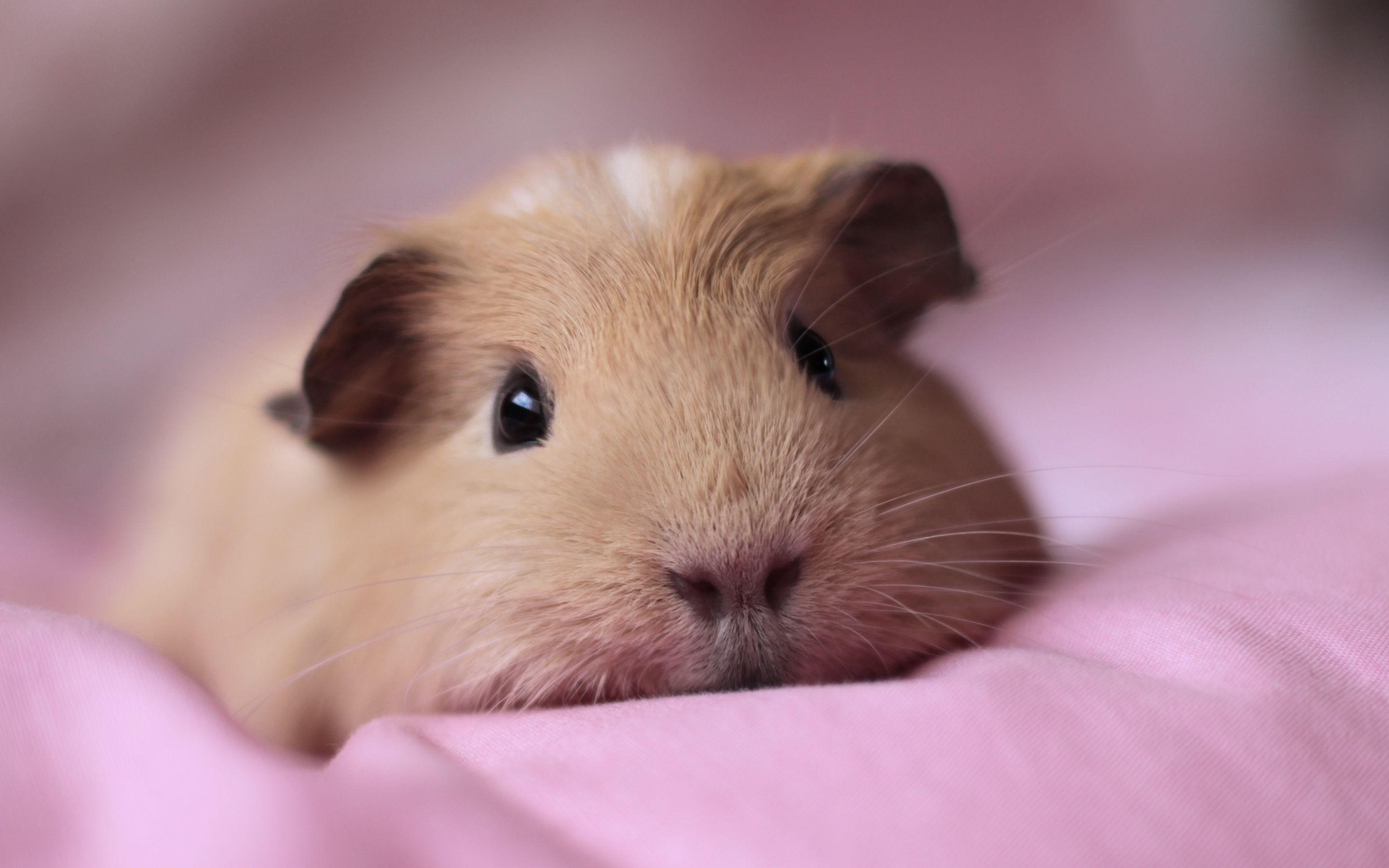 100+ Cute and Funny Guinea Pig Names | Animal and Baby guinea pigs