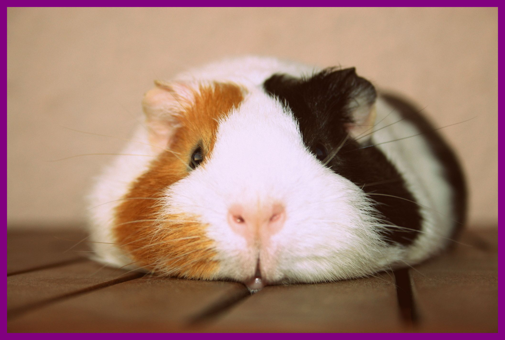 Best Guinea Pig Photo Charms Bracelets And Of Cute Eating ...