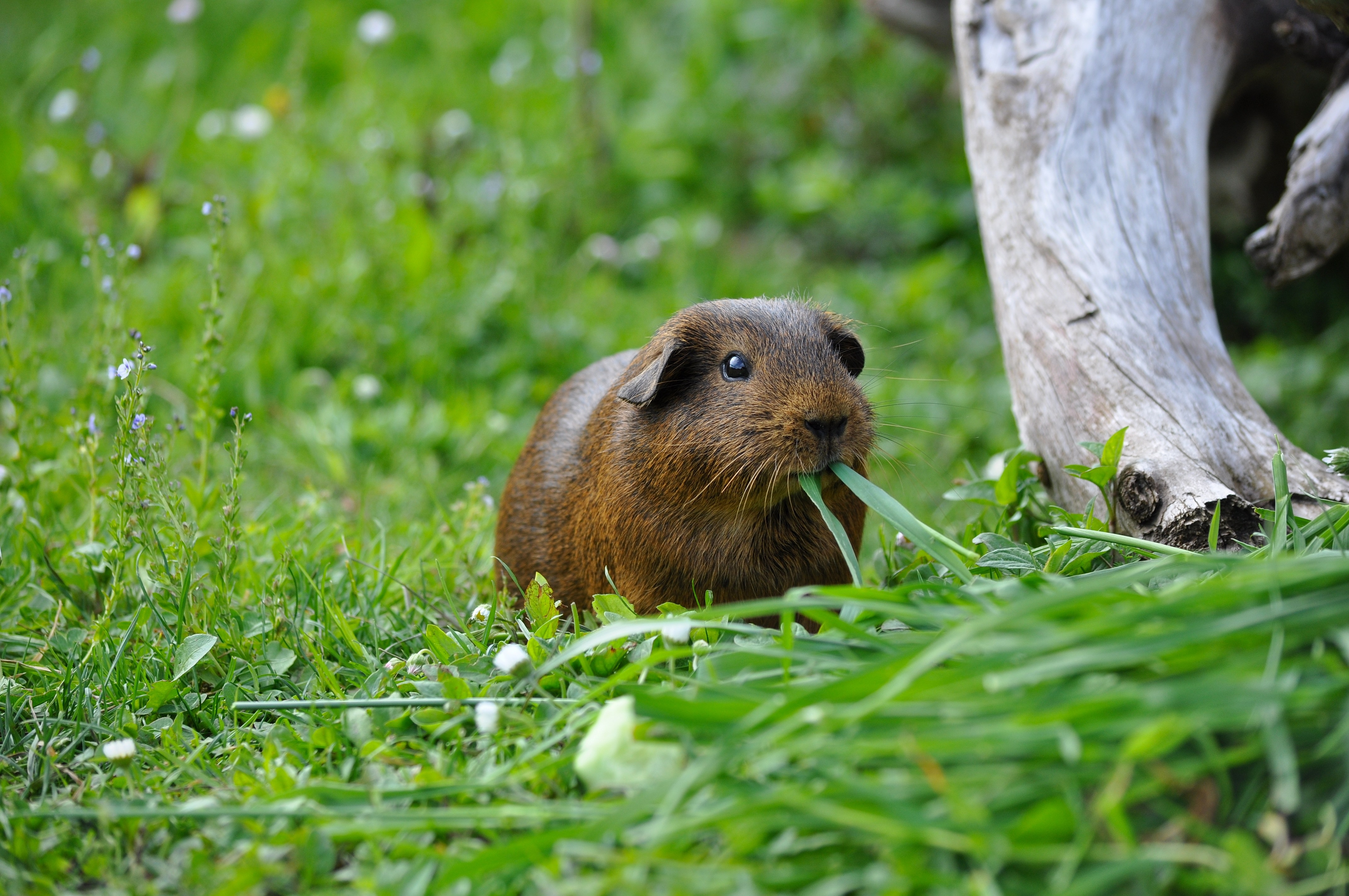 Cute Guinea, Adorable, Animal, Cute, Friend, HQ Photo