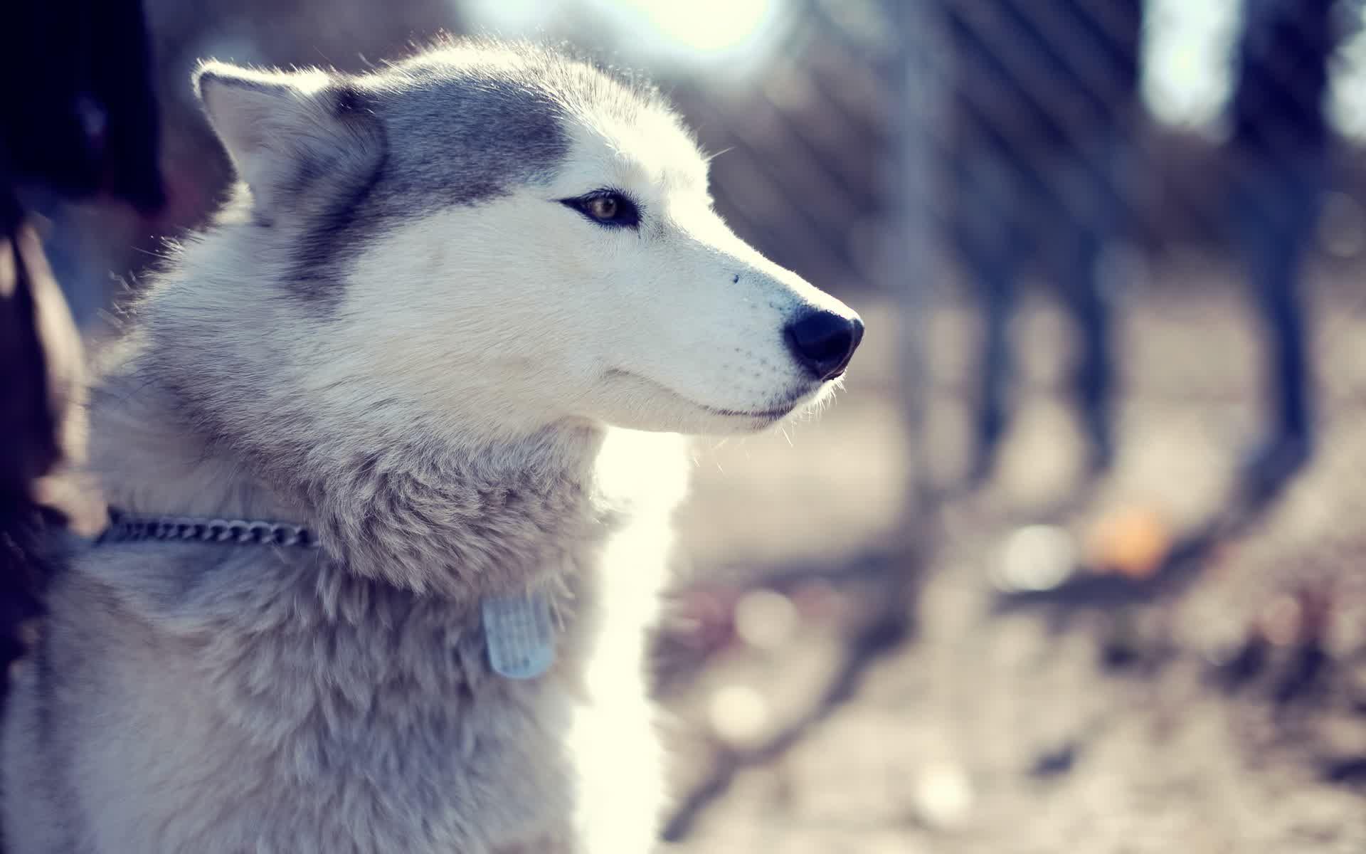 Cute Siberian Husky Puppies 49 HD Wallpaper | milliwall | Siberian ...