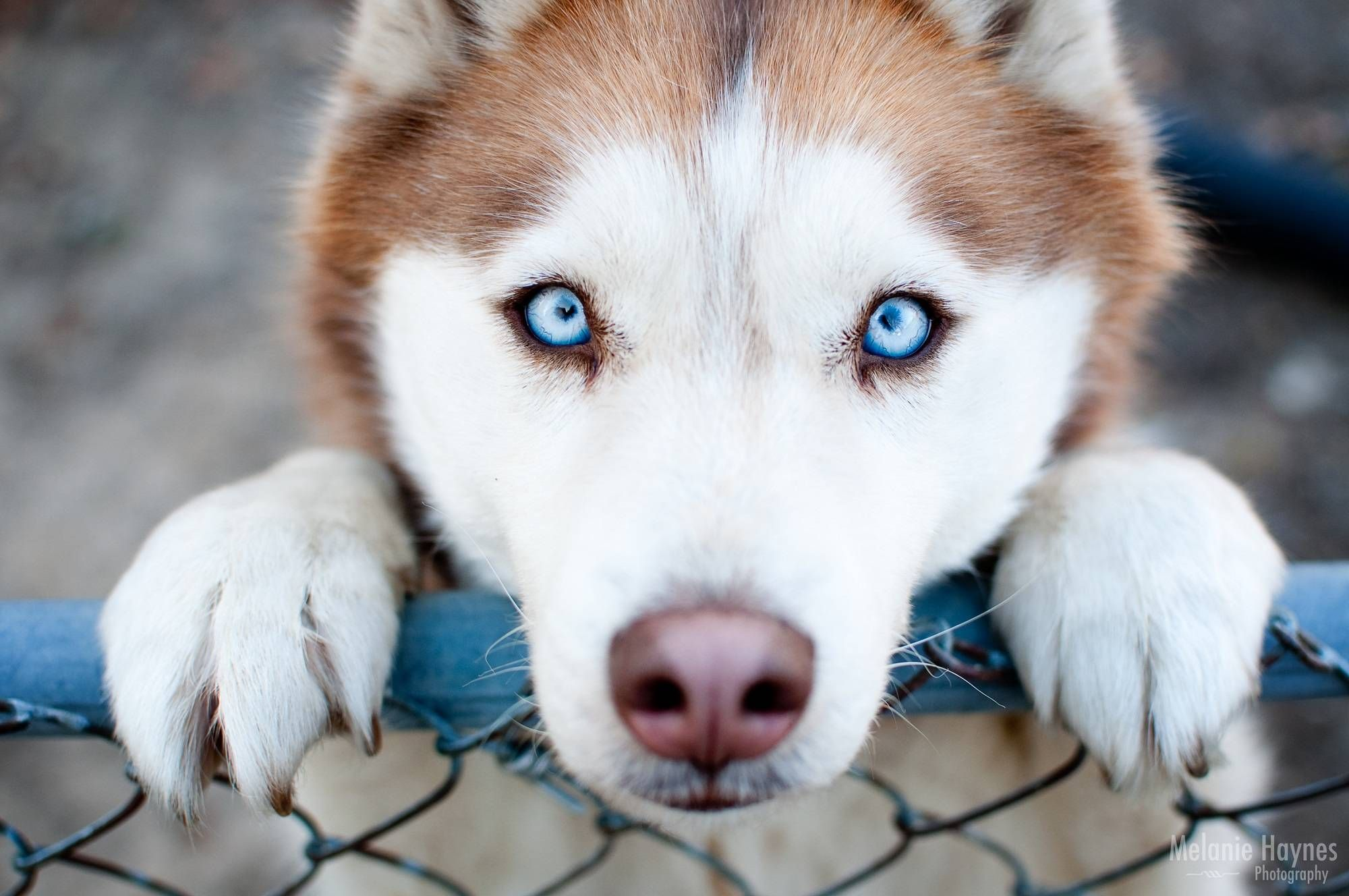 15 Types of Huskies Dog that Looks Like a Wolf. Information ...