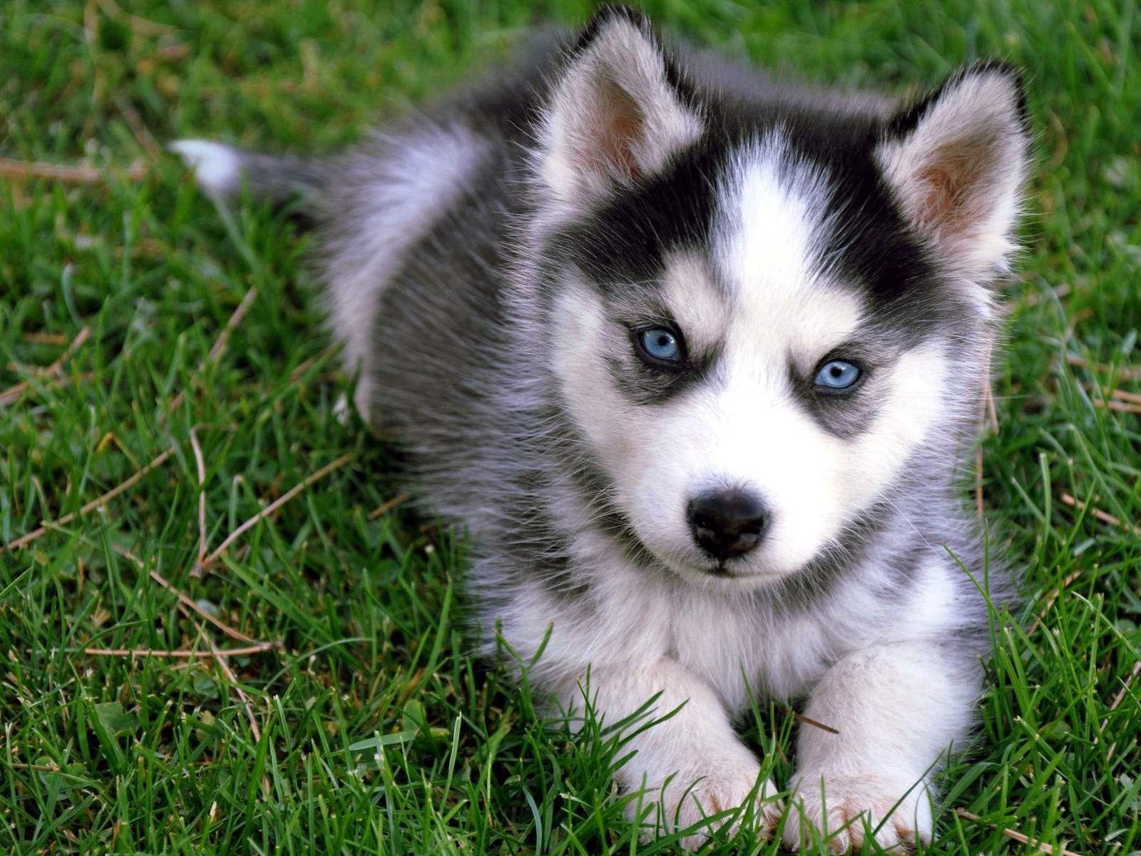 Cute+Husky+Puppies | Cute Siberian Husky Puppy Sitting On Grass ...