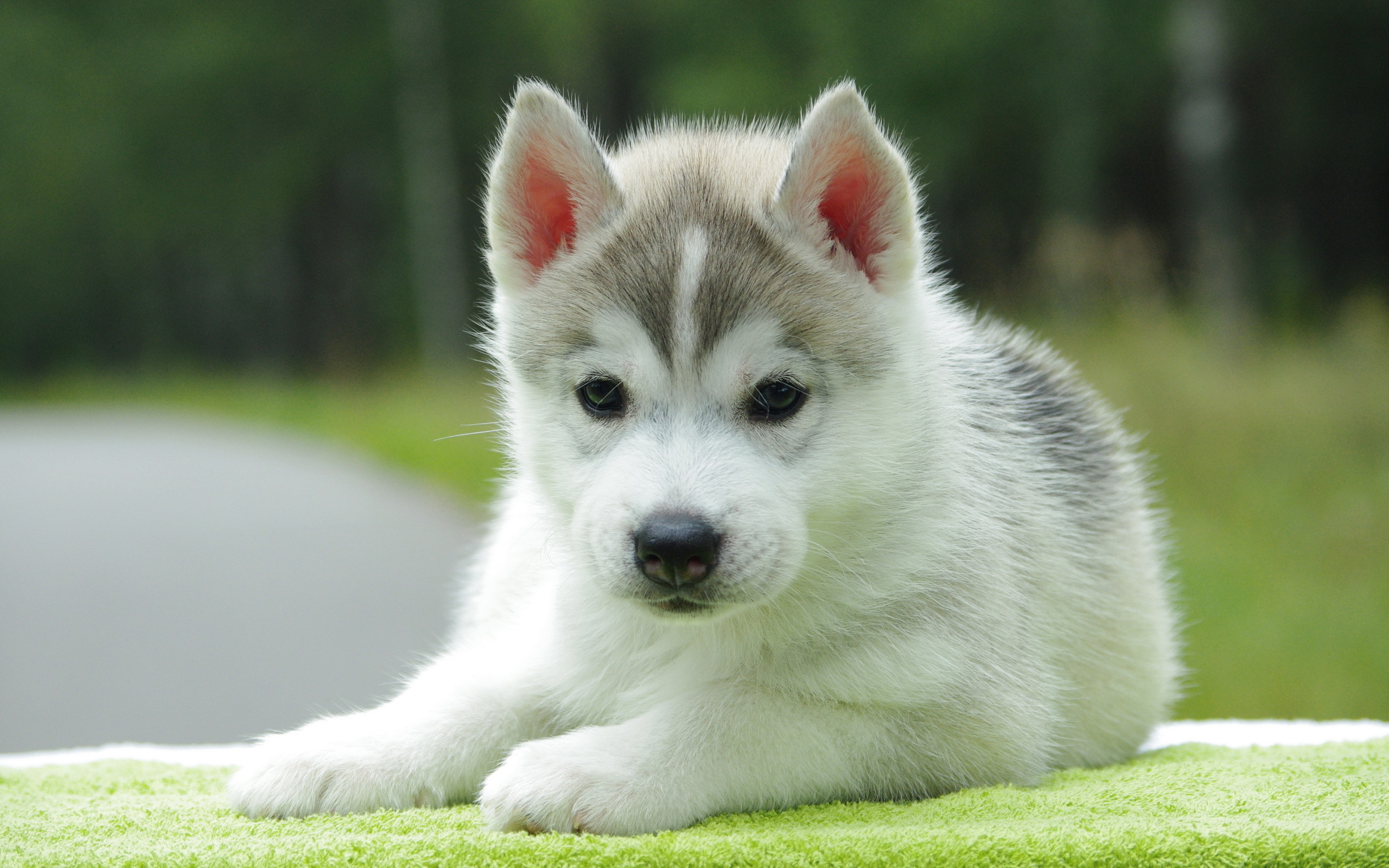 Cute Husky Puppies HD Wallpaper, Background Images