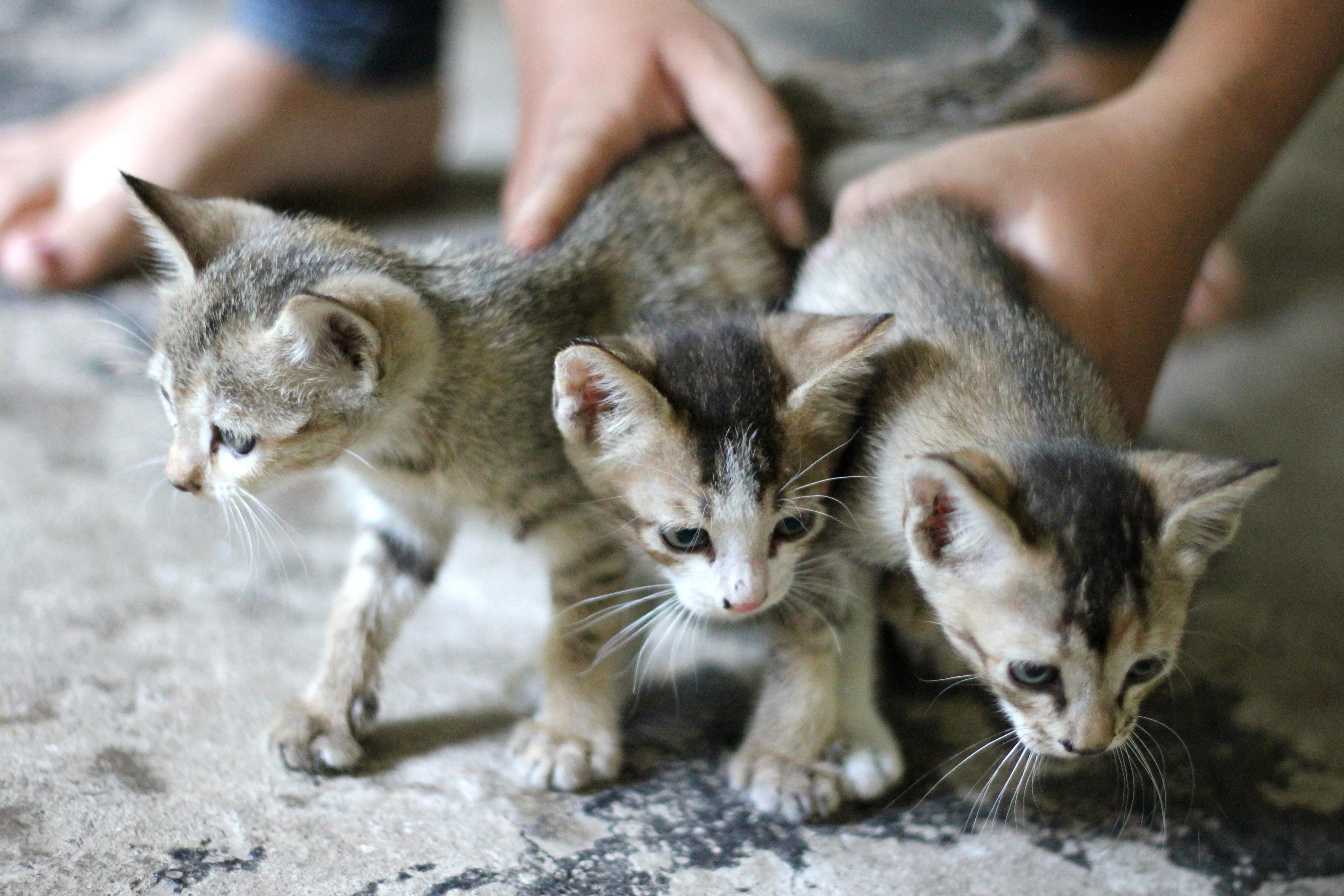 Free picture: cat, kitten, animal, feline, fur, pet, domestic cat ...