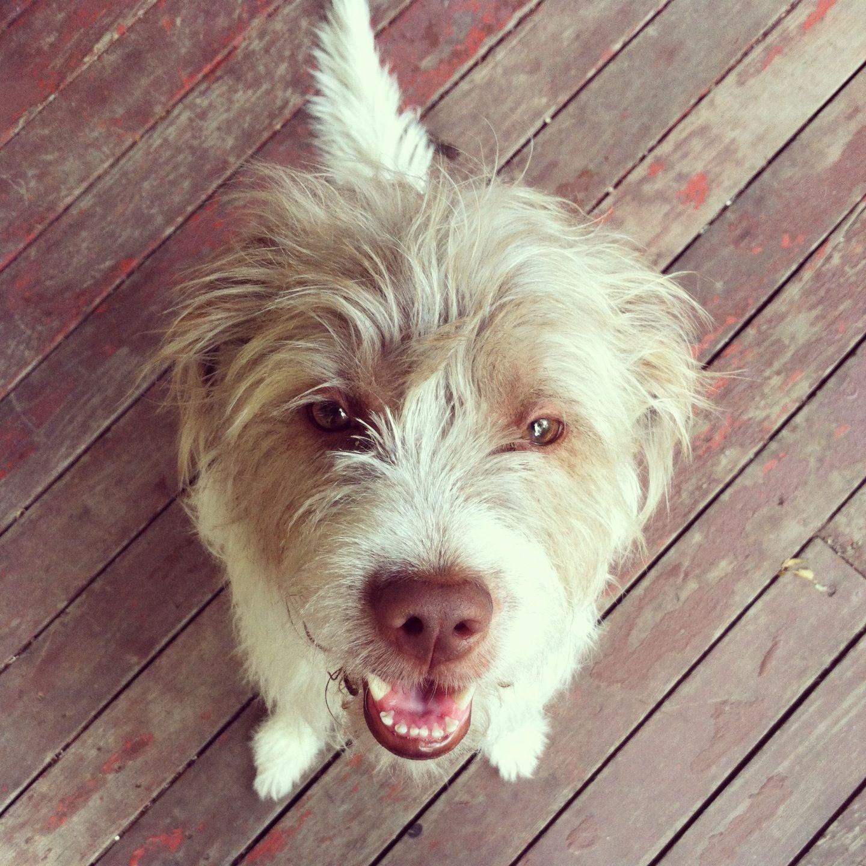 Nala the cutest dog #scruffydog | Paws ❤ | Pinterest | Dog