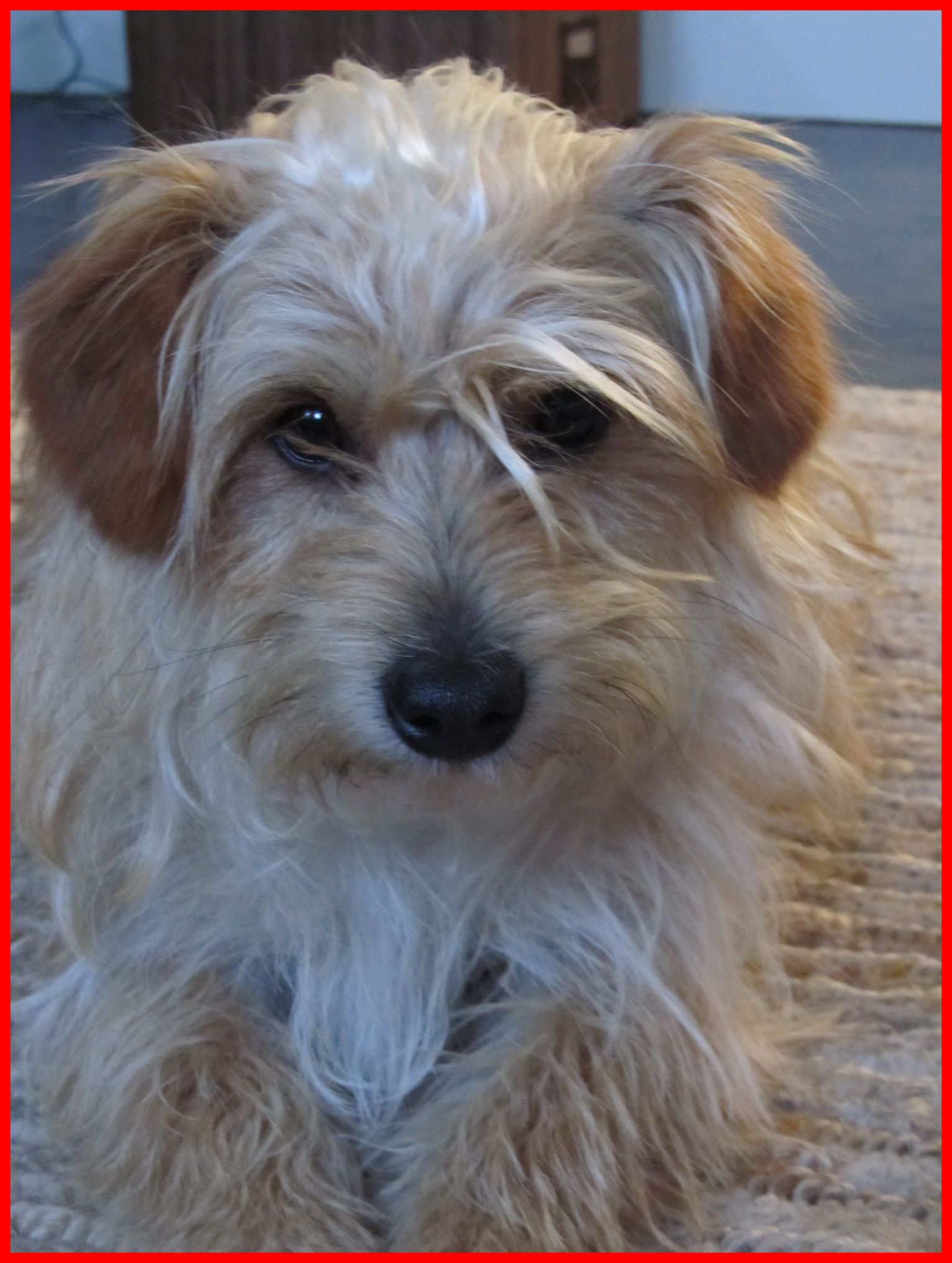 Inspiring Scruffy Dog Tactical Revenge Terrier Mix And Animal Of ...