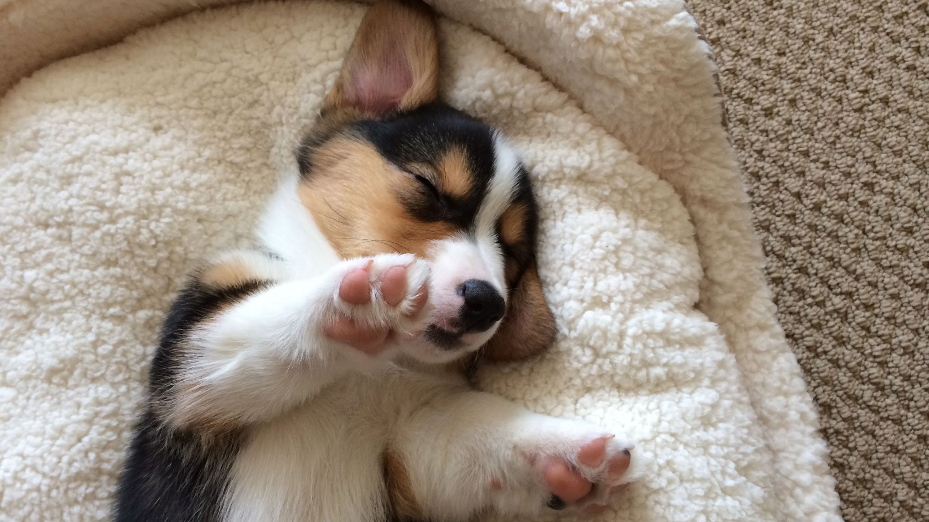 CUTE SLEEPING CORGI PUPPY COMPILATION - Grows Up! - YouTube