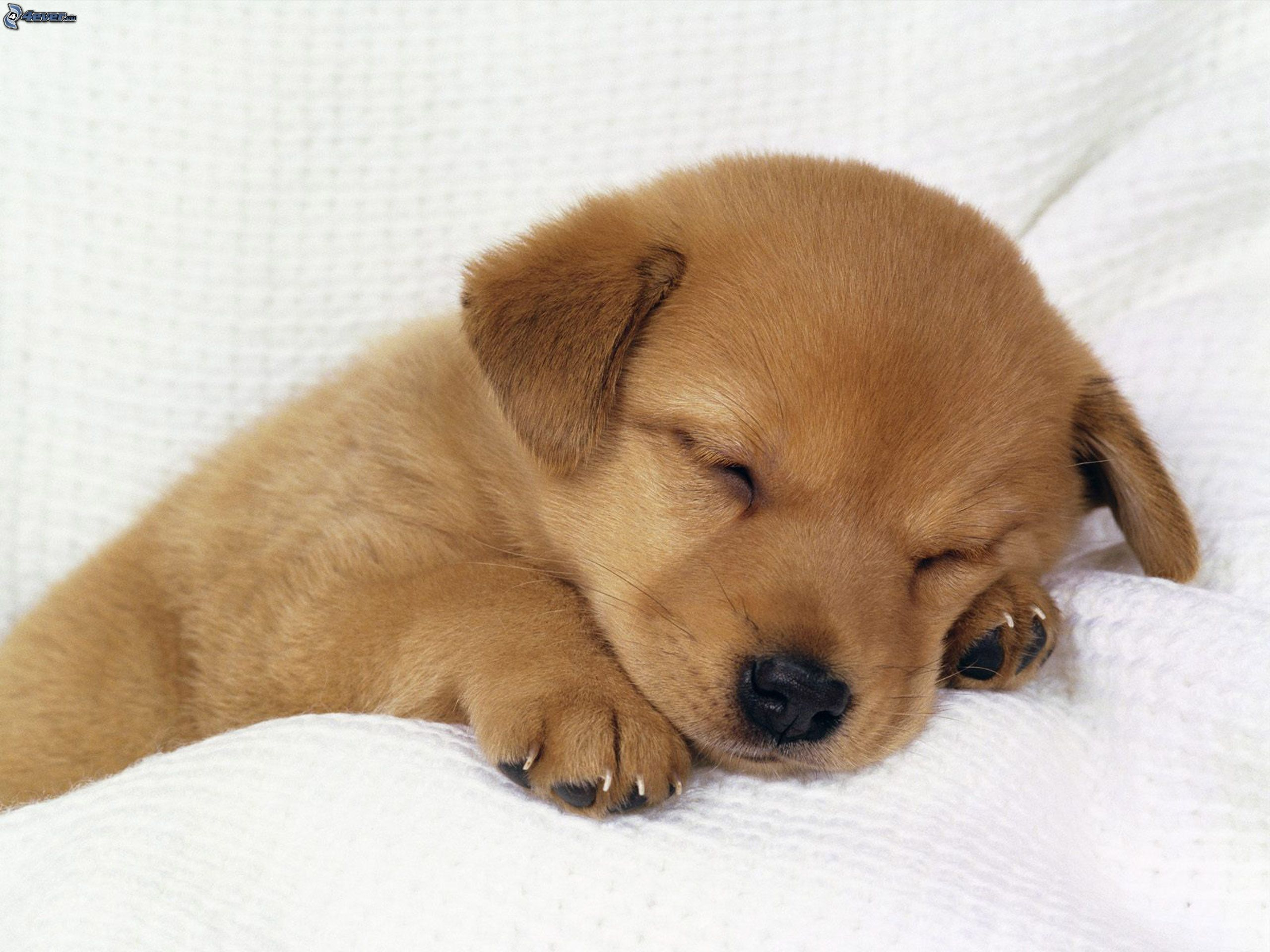 Cute Sleeping Golden Retriever Puppies HD Wallpaper, Background Images
