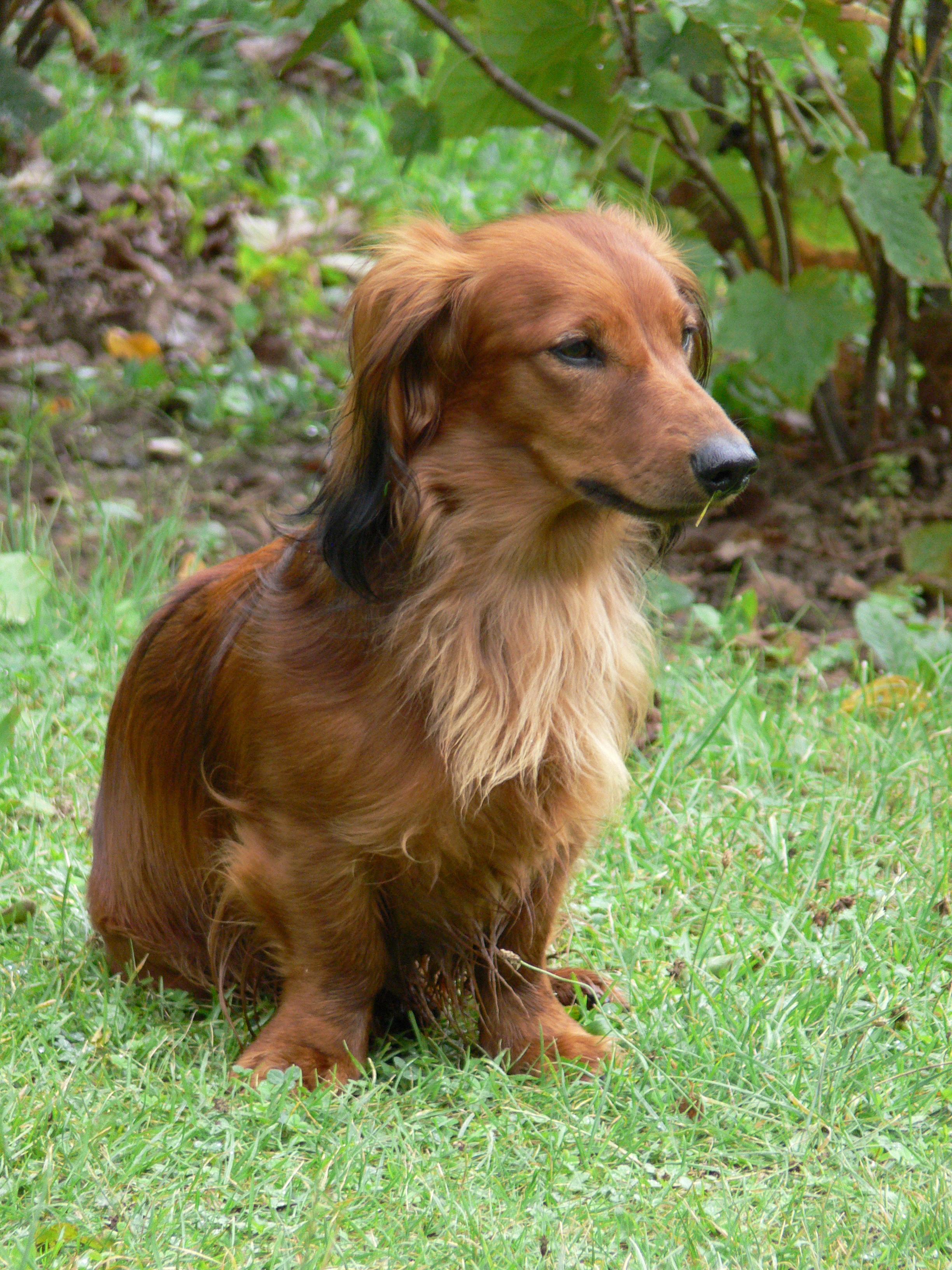 Dachshun, Animal, Bark, Dog, Ears, HQ Photo