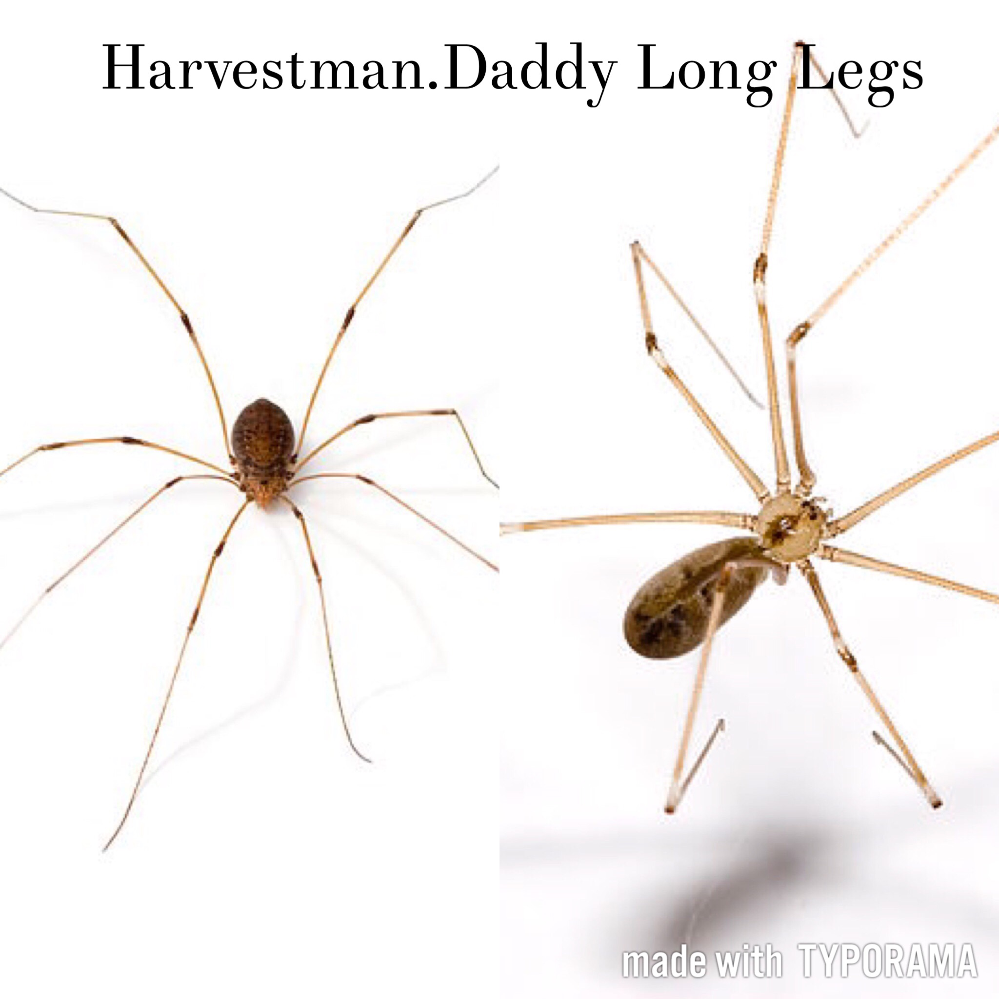 Harvestman vs daddy long legs - Album on Imgur