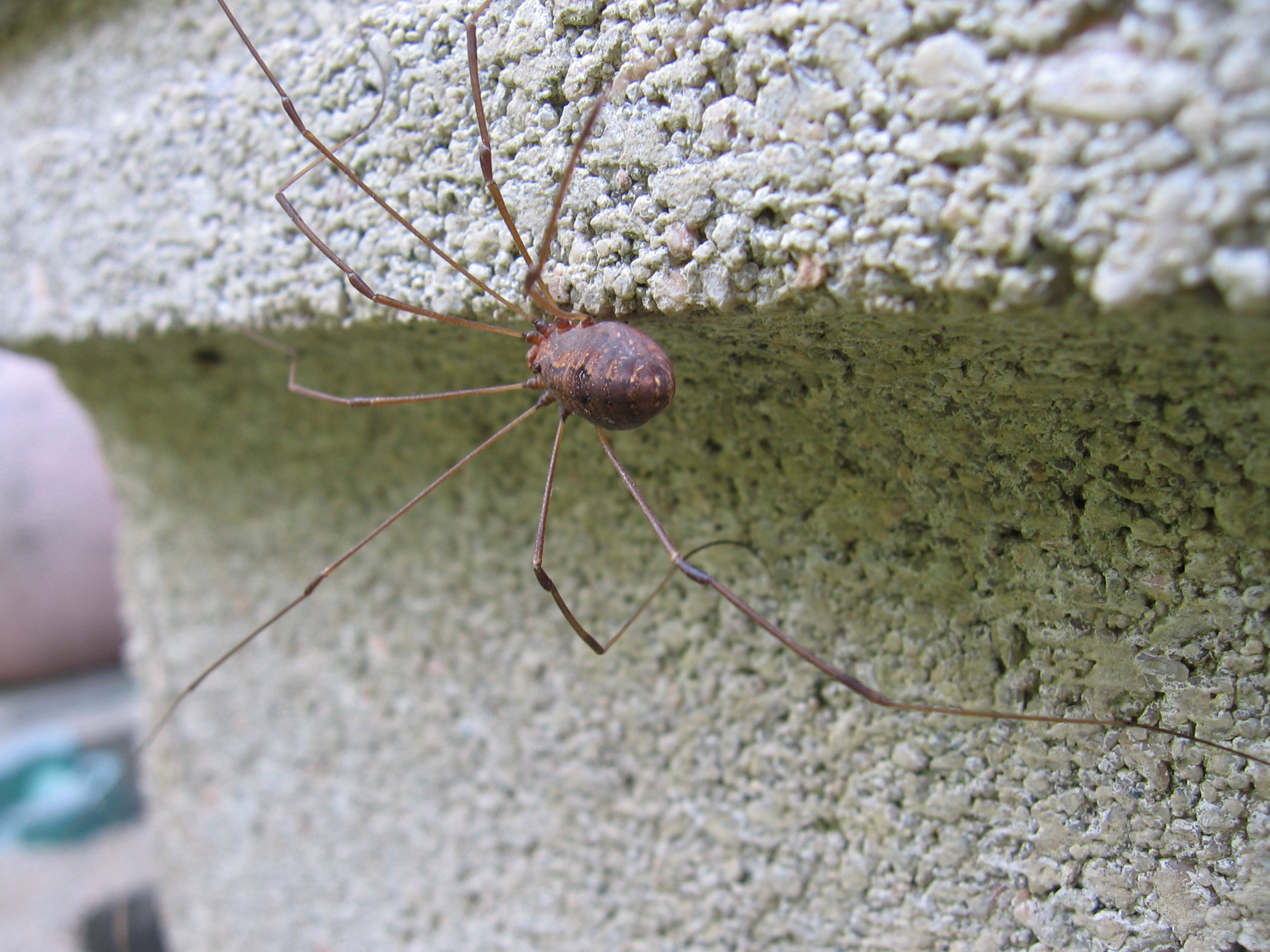 Daddy Long Legs, Animal, Bspo06, Insect, Longlegs, HQ Photo