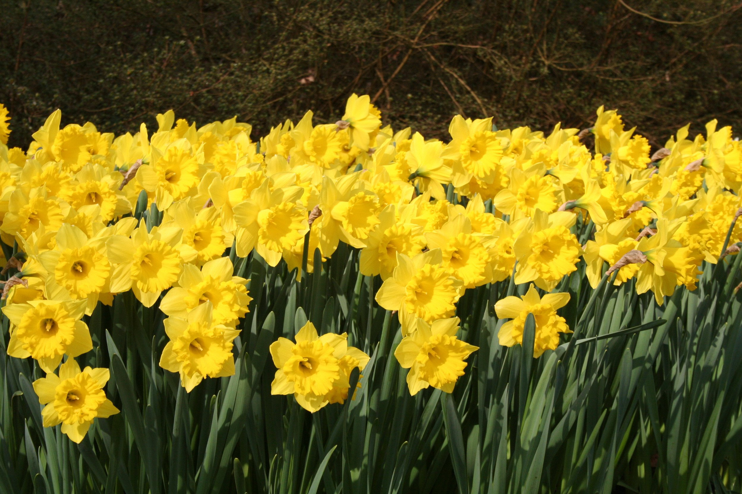 Eight Weeks of Daffodils - Landscapers Special | DutchGrown